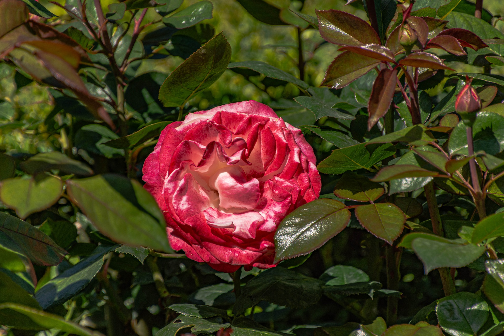 Read and withe roses  by Johnny Lythell