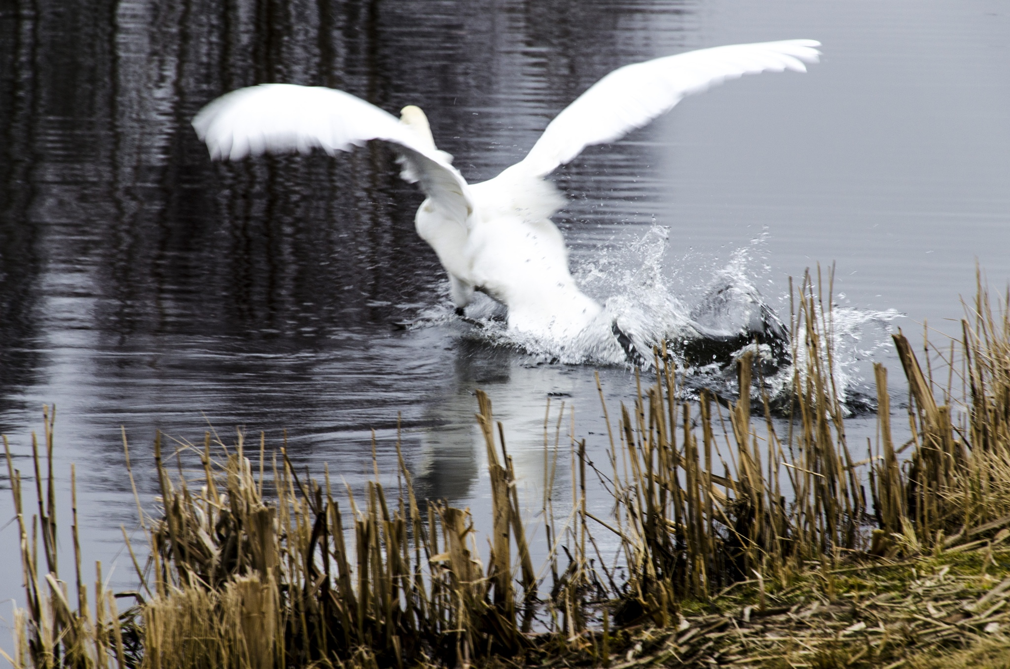 Fleeing swan with motion blur by Johnny Lythell