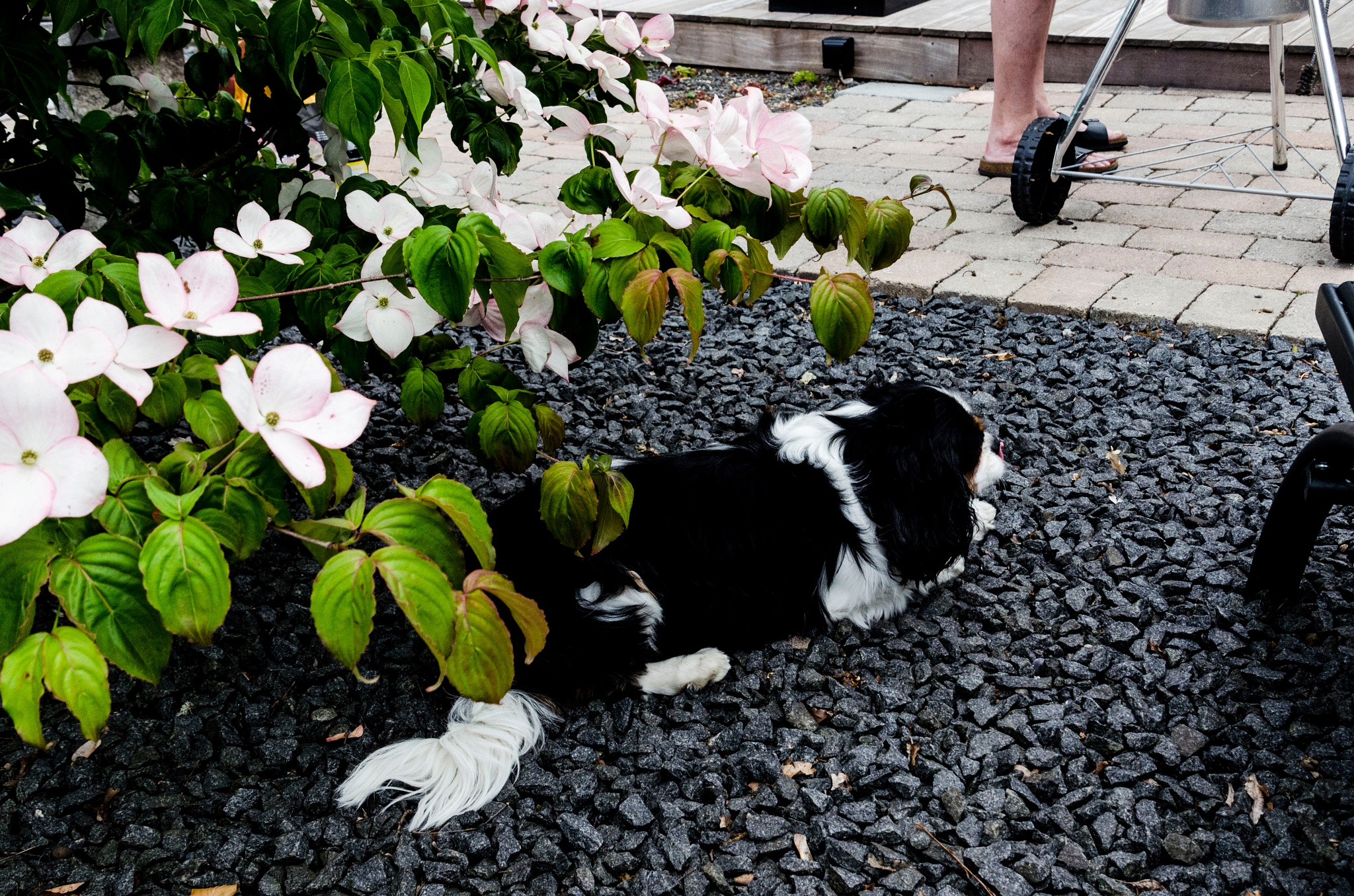 The dog resting under a flowering shrub by Johnny Lythell