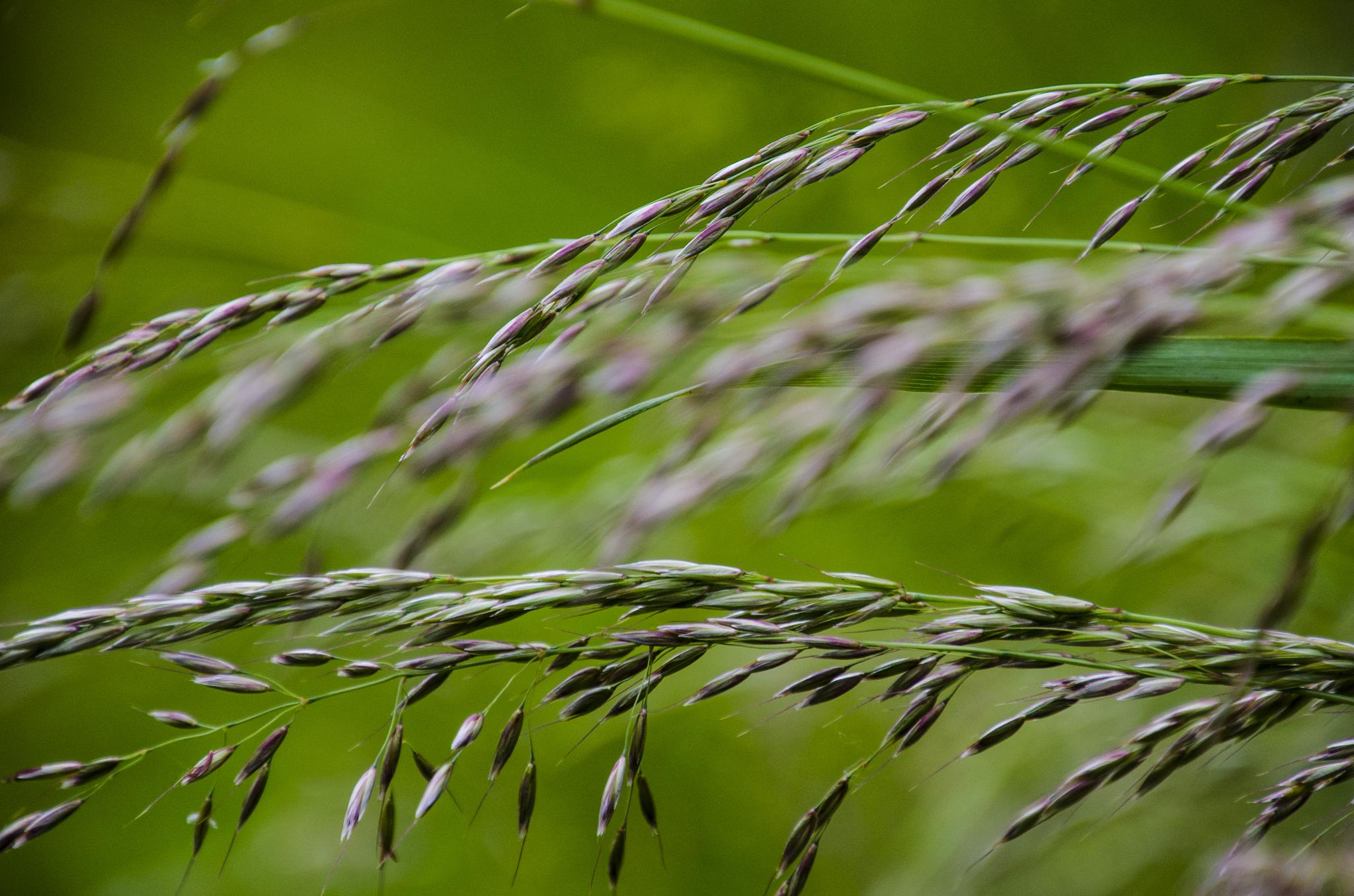 Grass growing along the trail by Johnny Lythell