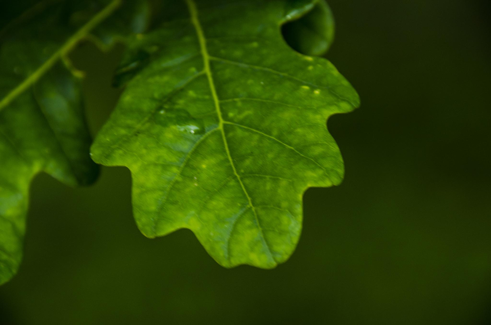oak leaves with a water drop by Johnny Lythell