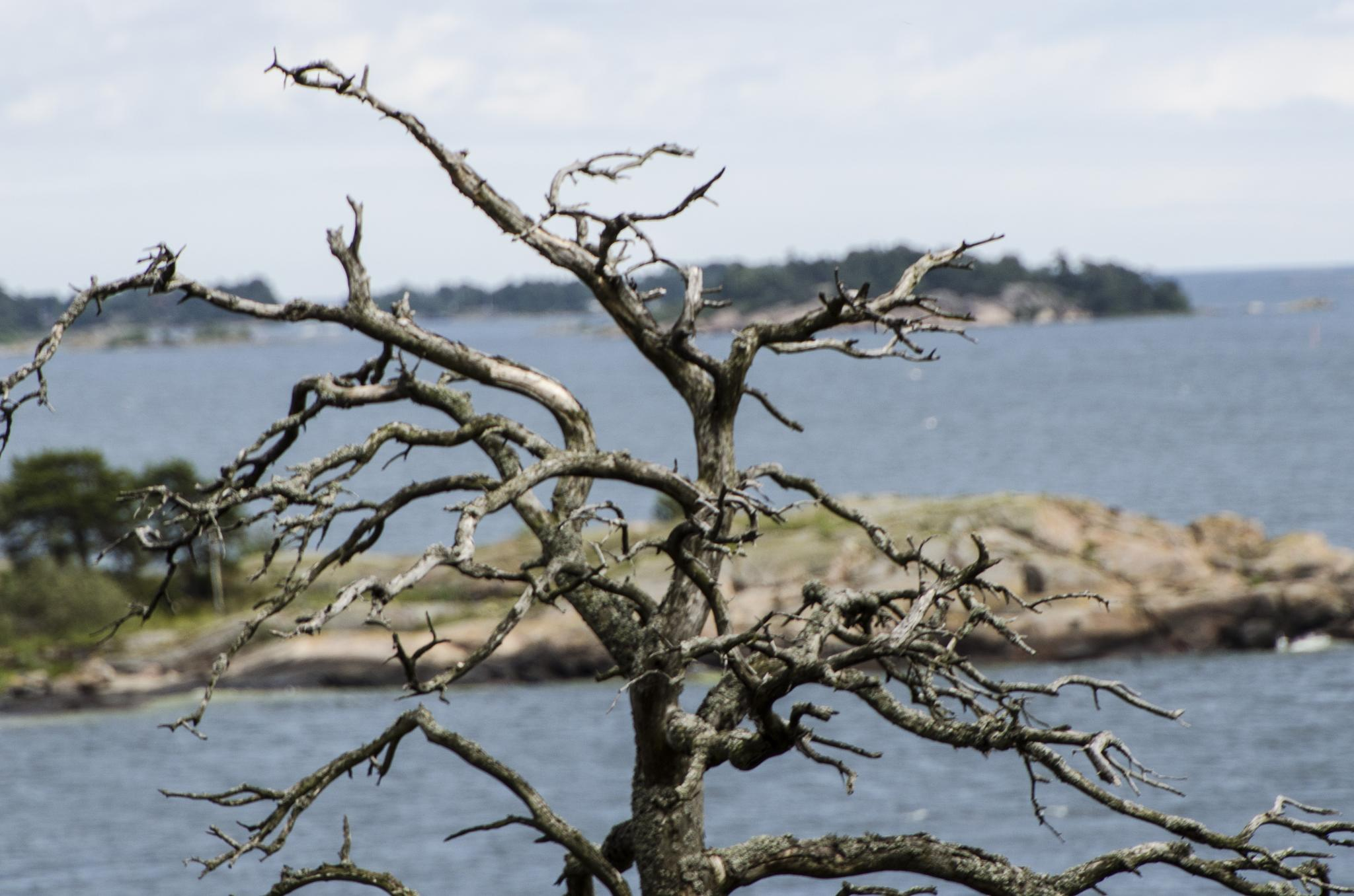Dead tree with the Baltic Sea in the background by Johnny Lythell