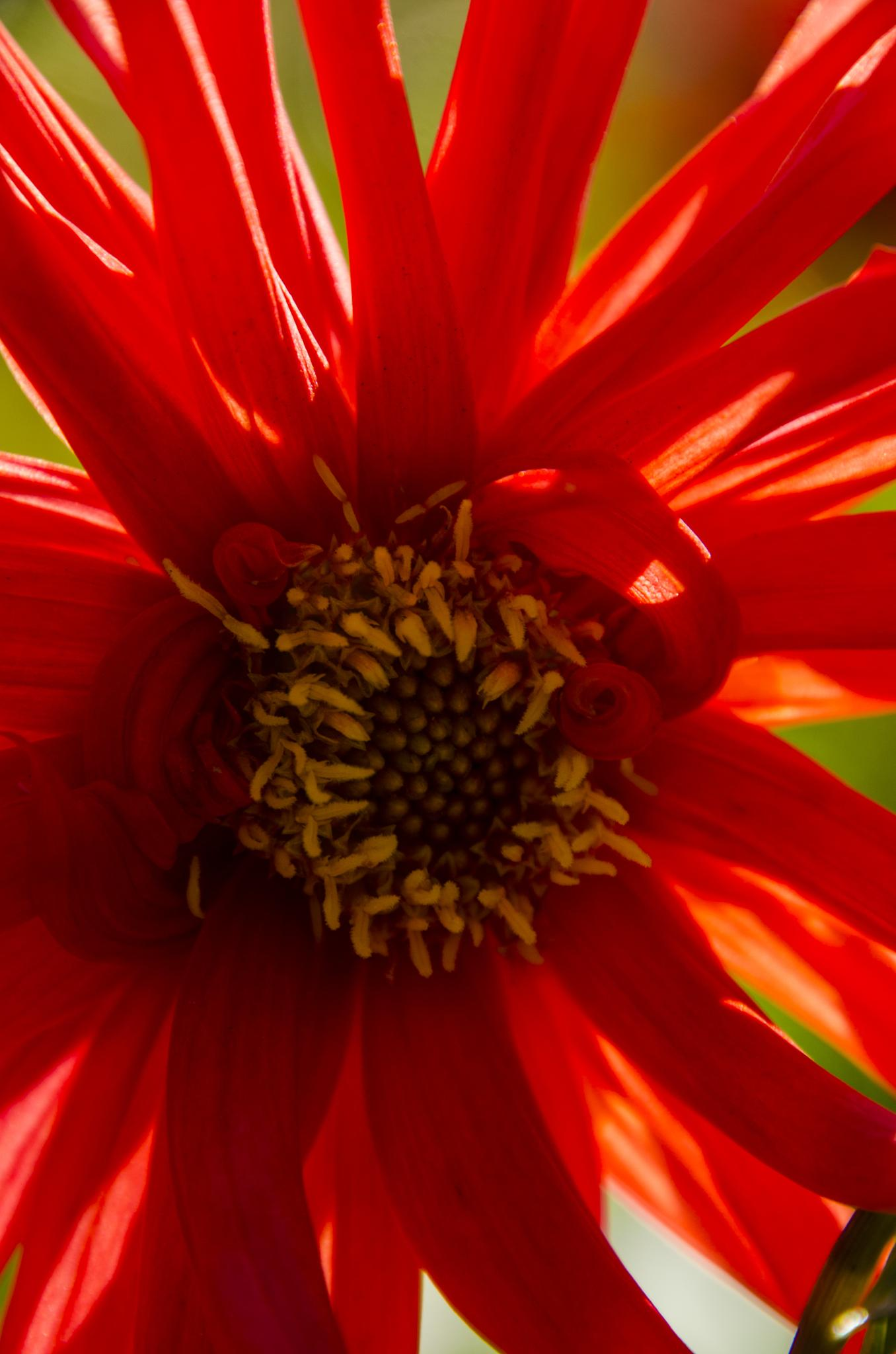 Red flower by Johnny Lythell
