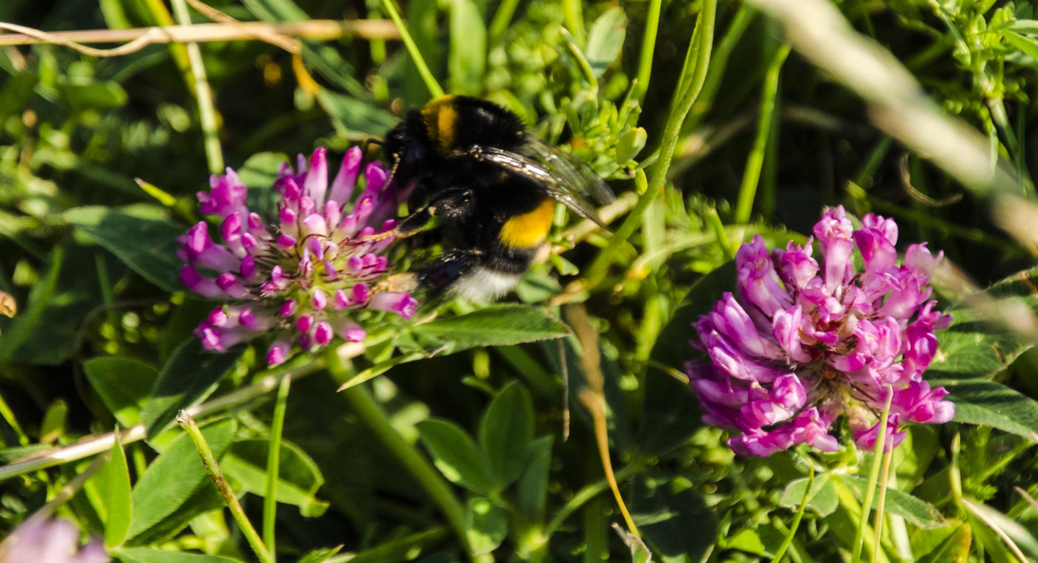 Flower and Bumblebee by Johnny Lythell