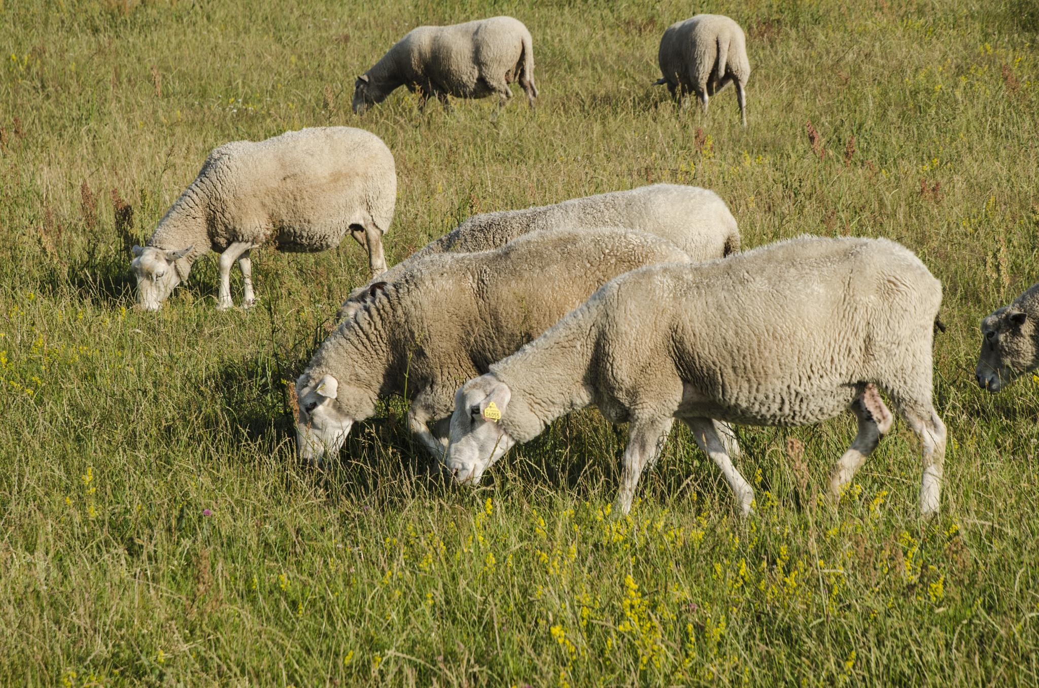Many grazing sheep by Johnny Lythell