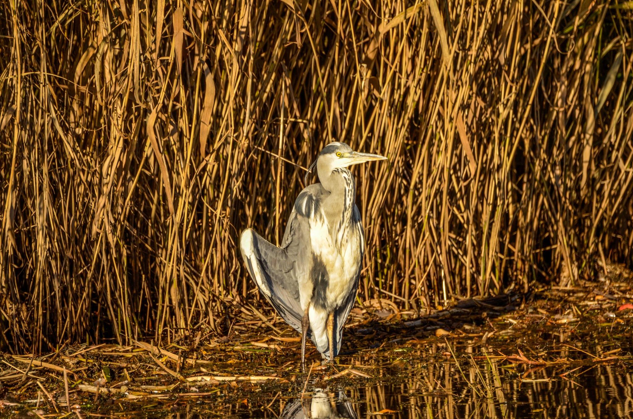 Heron sunbathing by Johnny Lythell