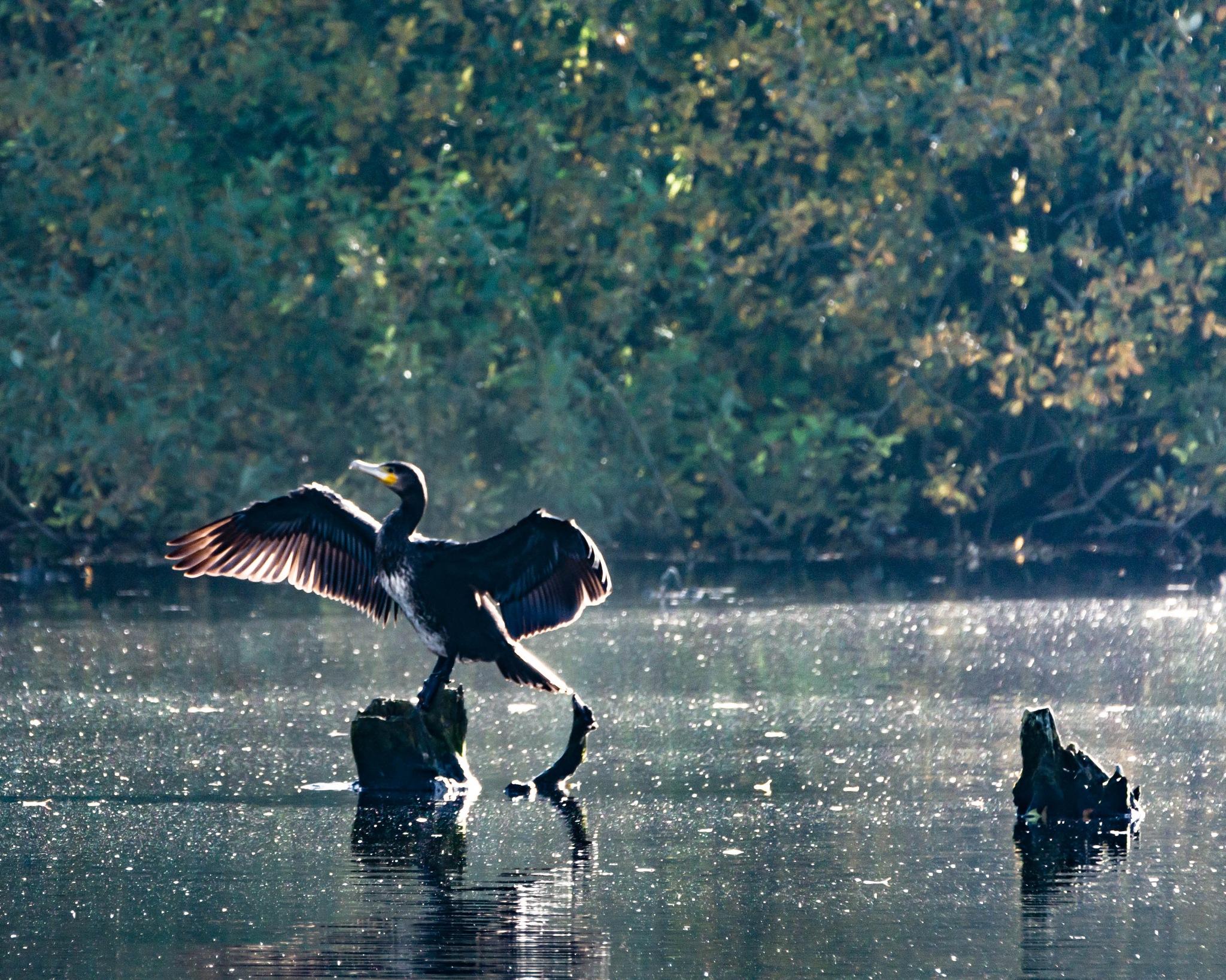 Storskarv  (Phalacrocorax carbo) by Johnny Lythell