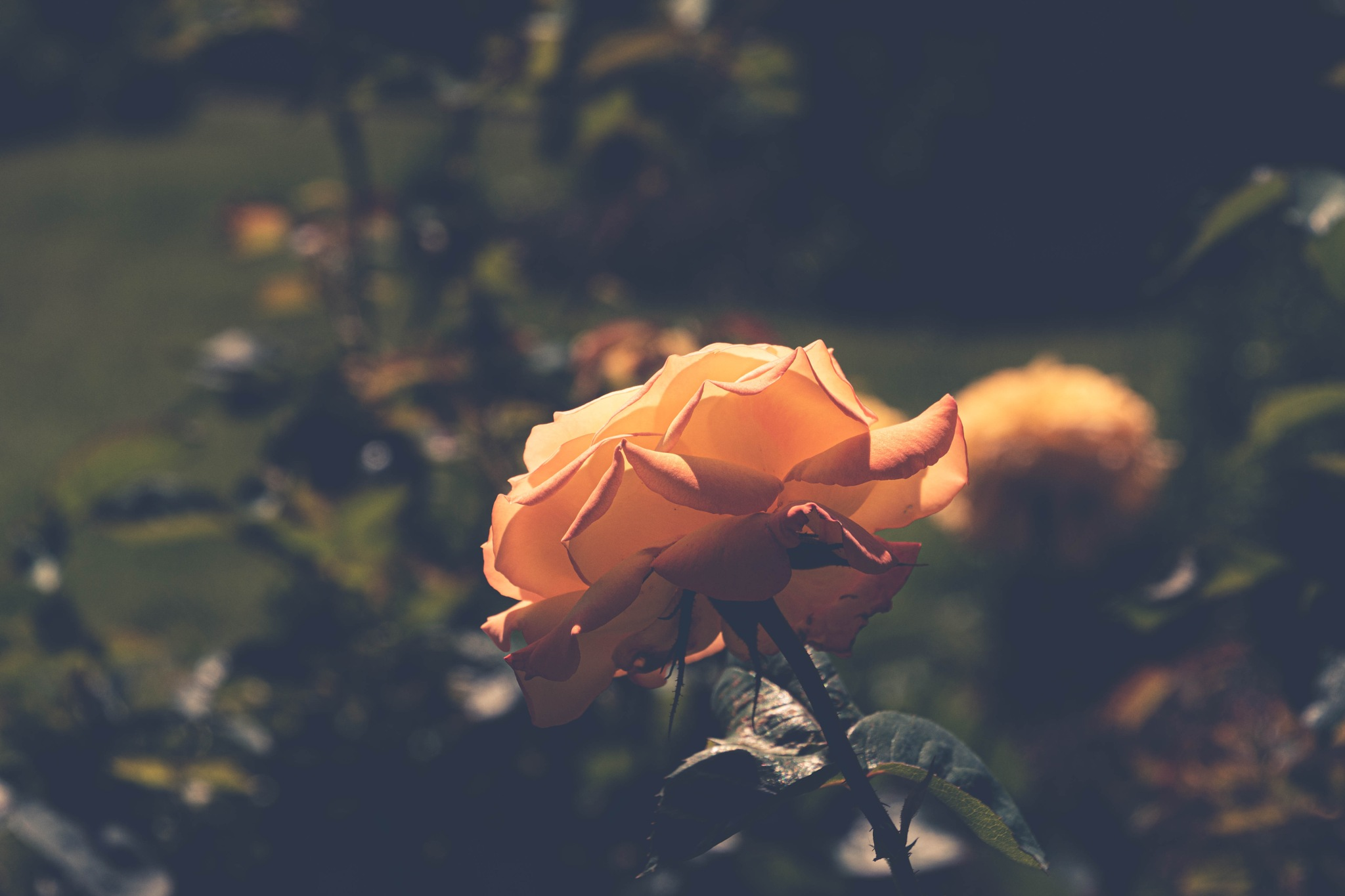 Yellow rose by Johnny Lythell