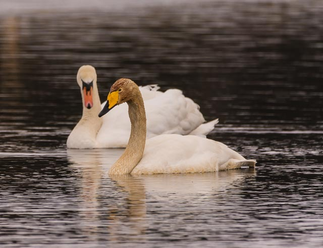 Swan by Johnny Lythell