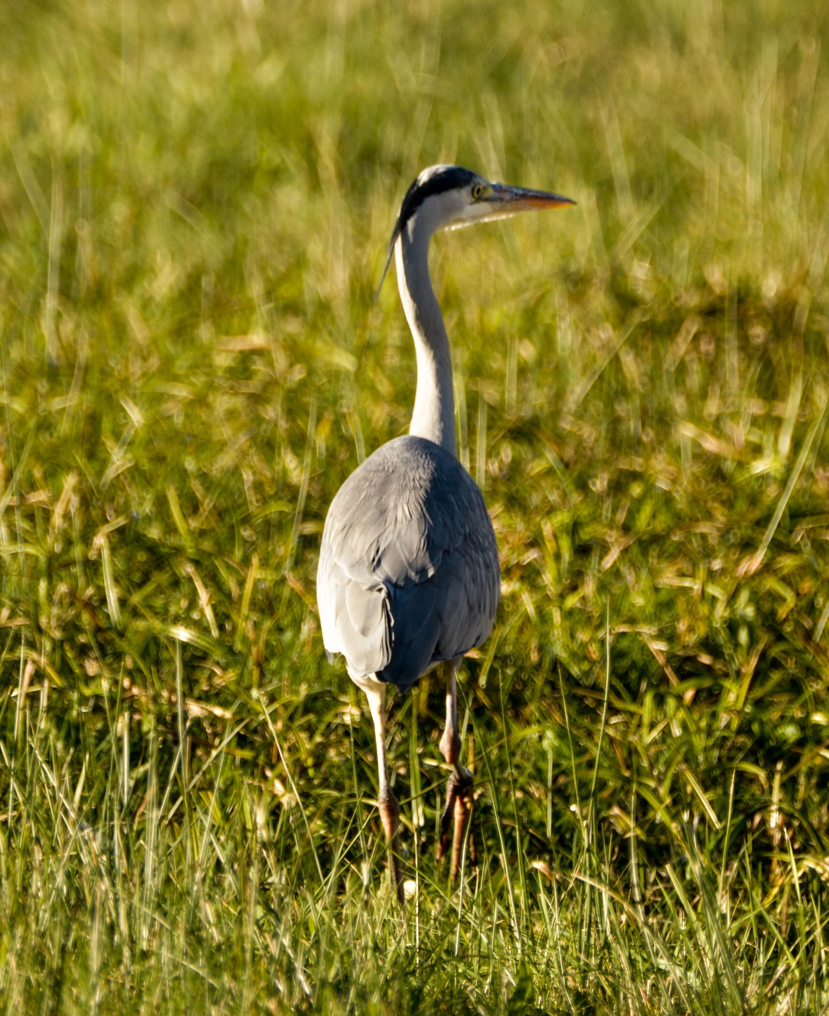 Heron by Johnny Lythell