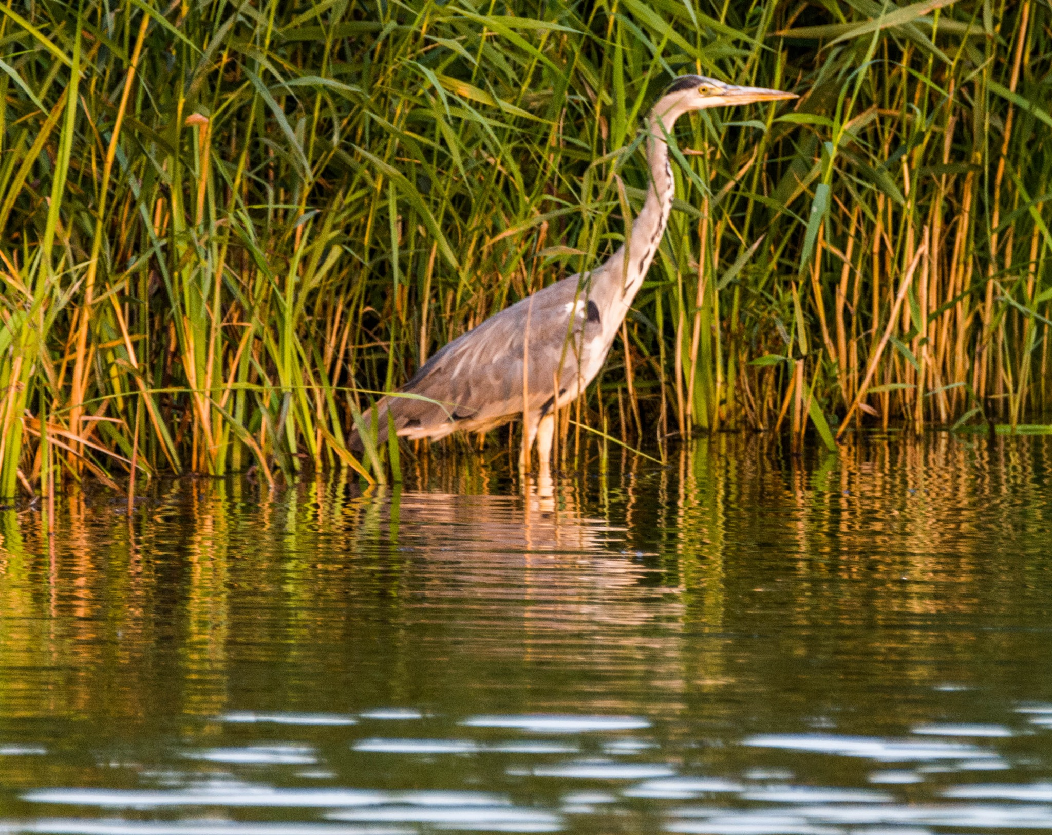 Gråhäger  Ardea cinerea by Johnny Lythell