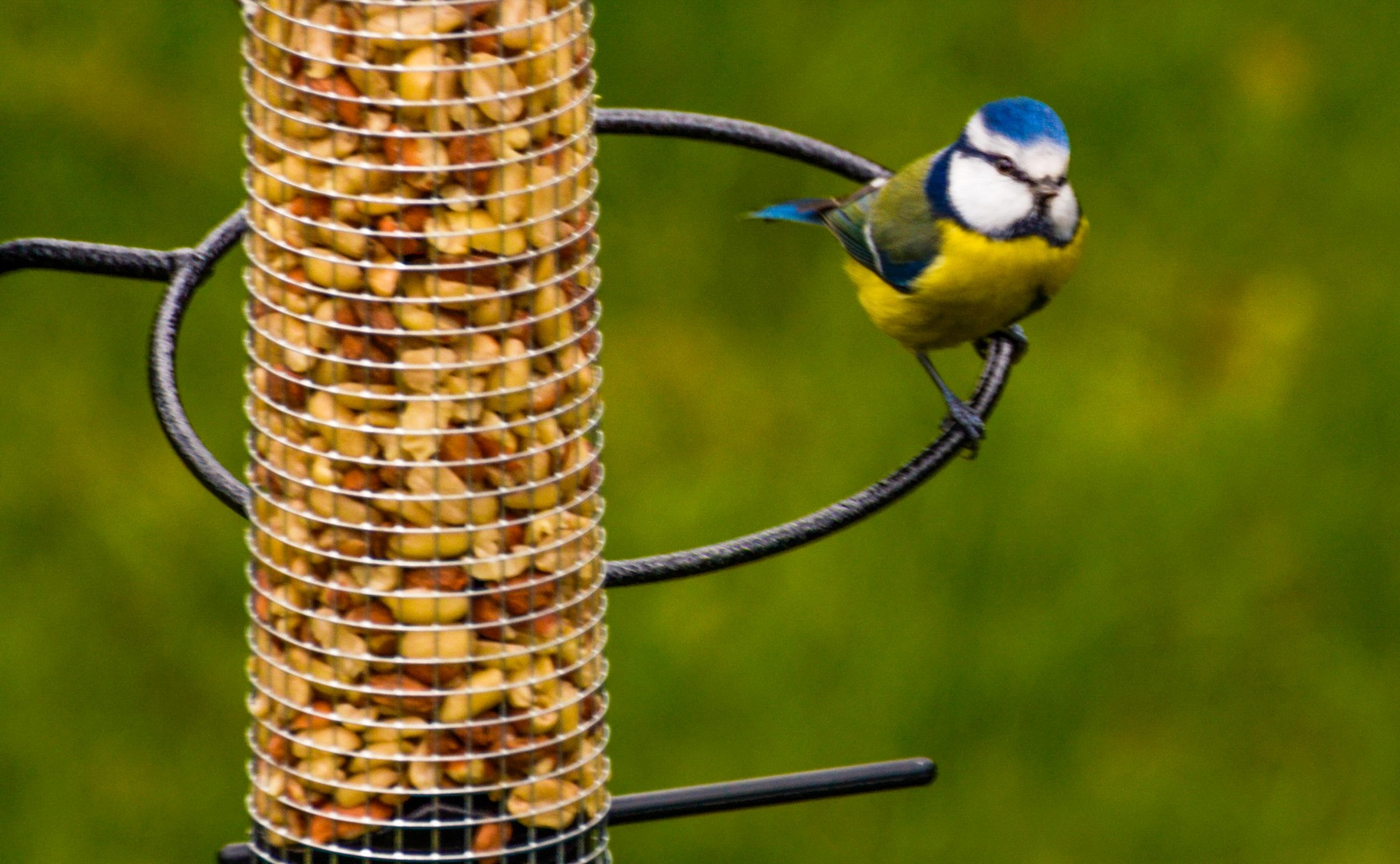 Blue tit in my garden by Johnny Lythell