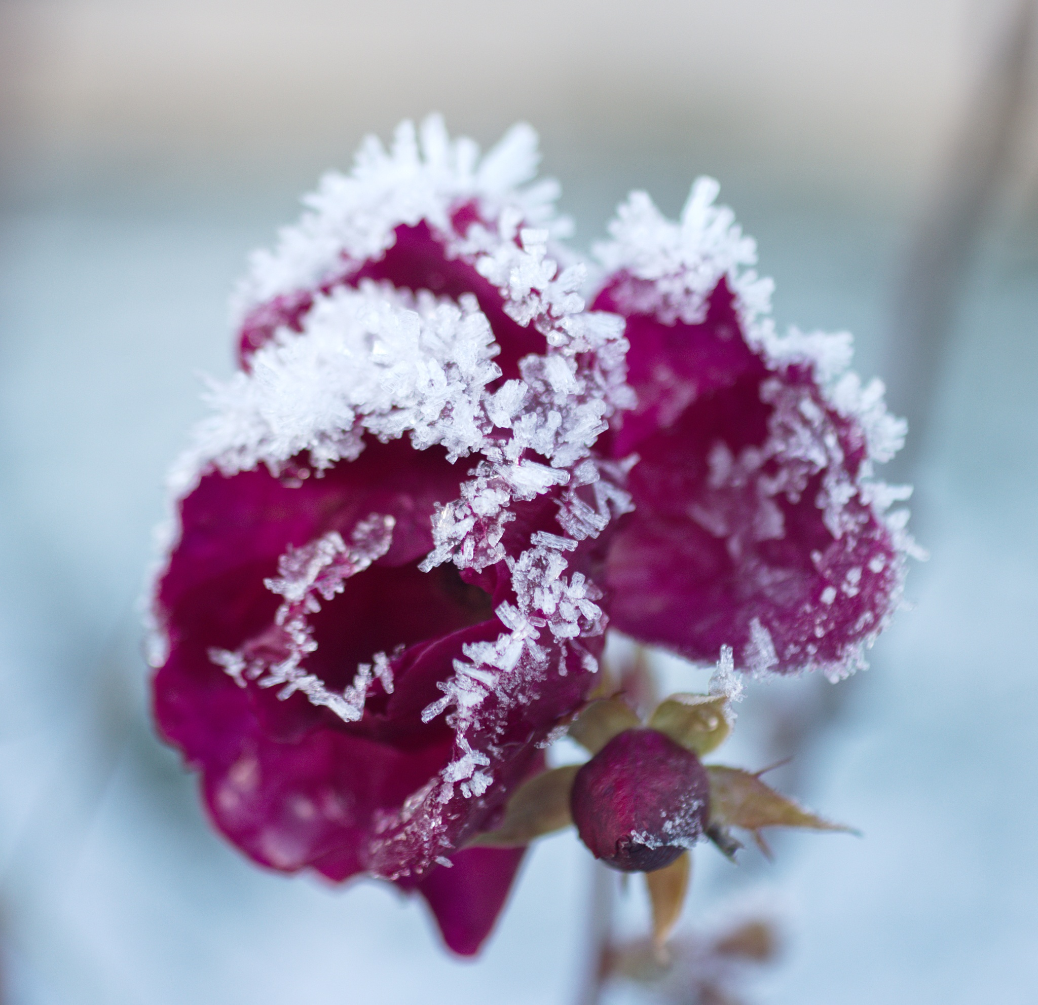 Frozen rose by Lennart Andersson