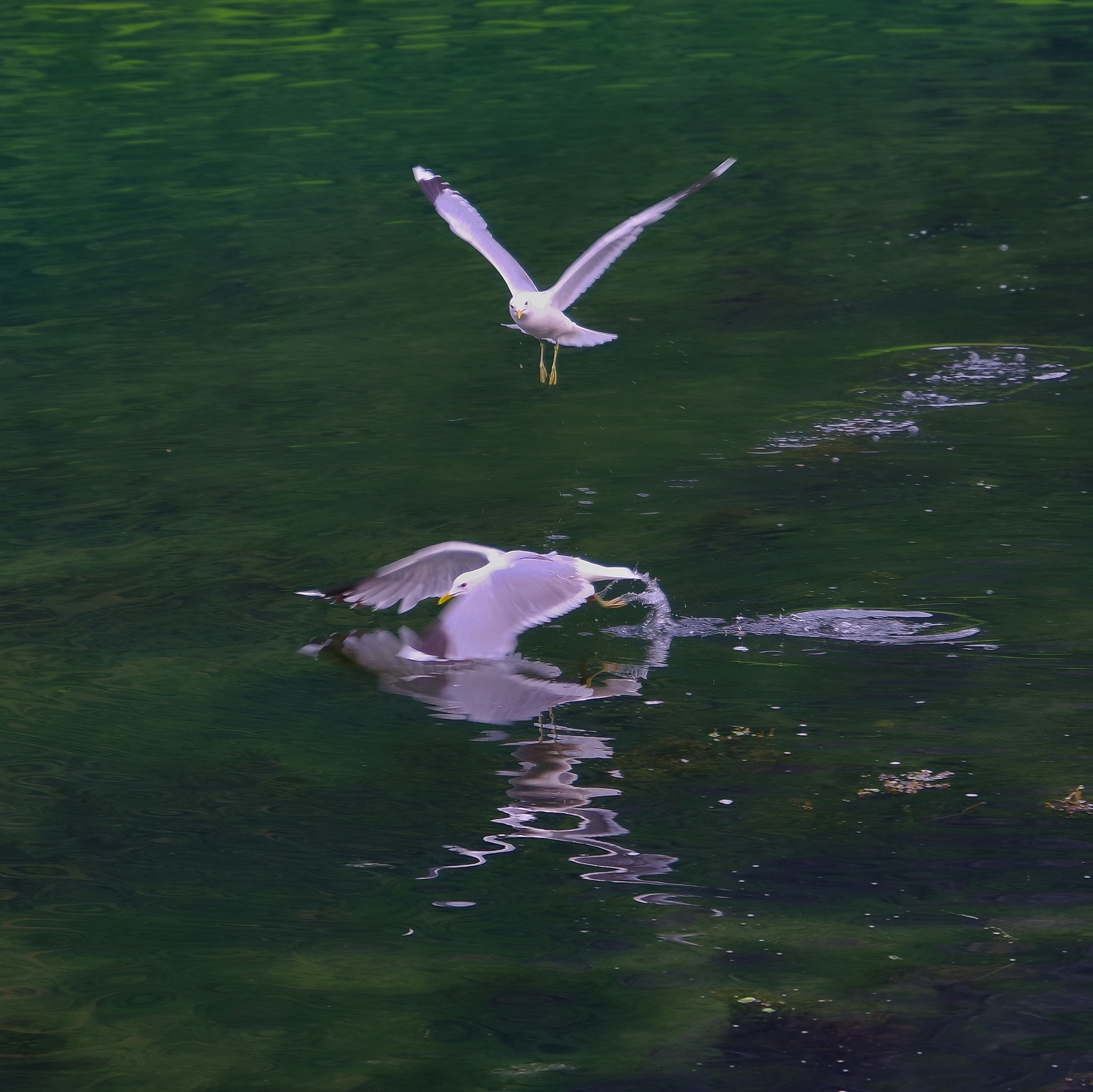 Seagull by Lennart Andersson