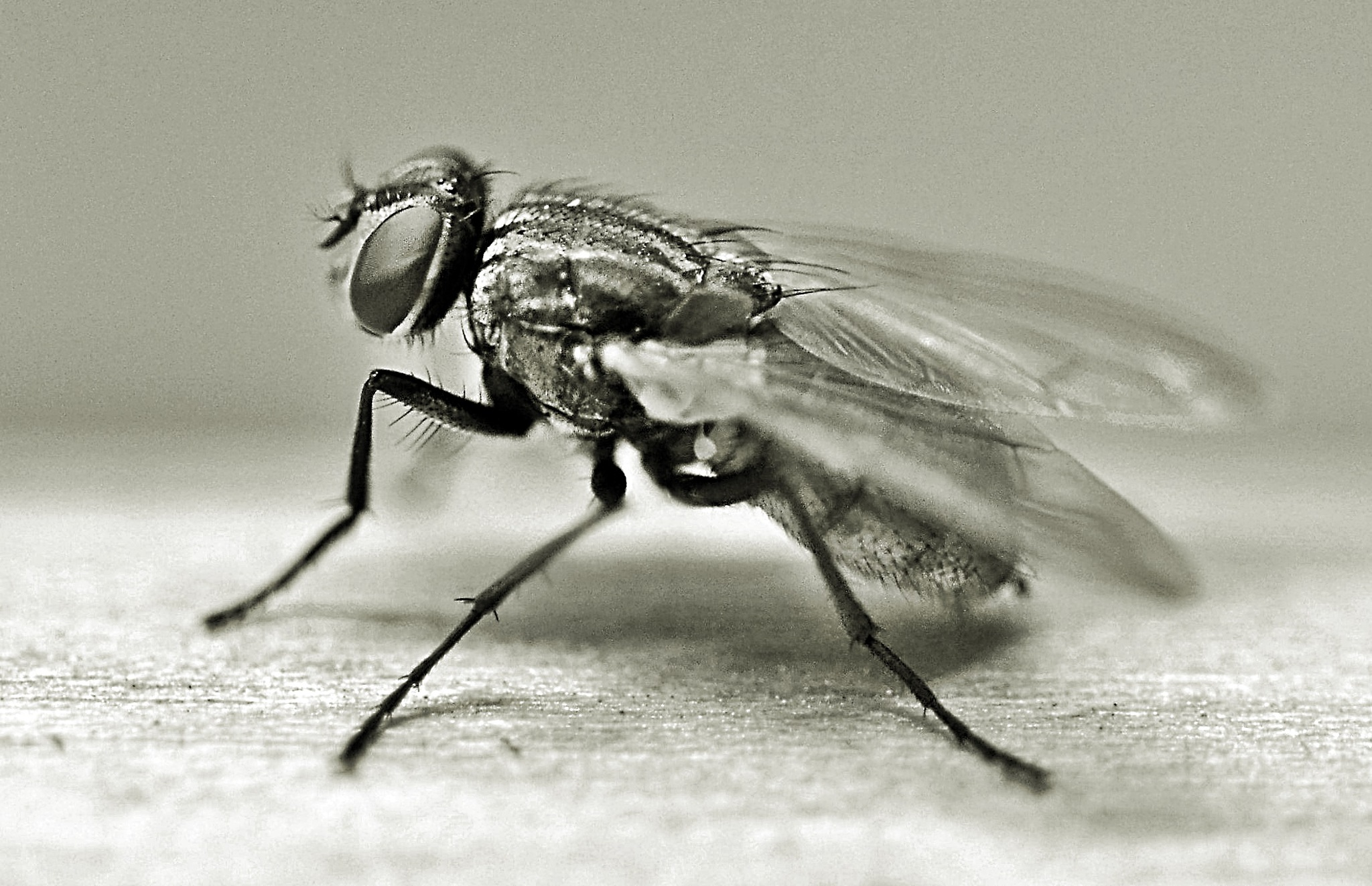 housefly by rollepersson