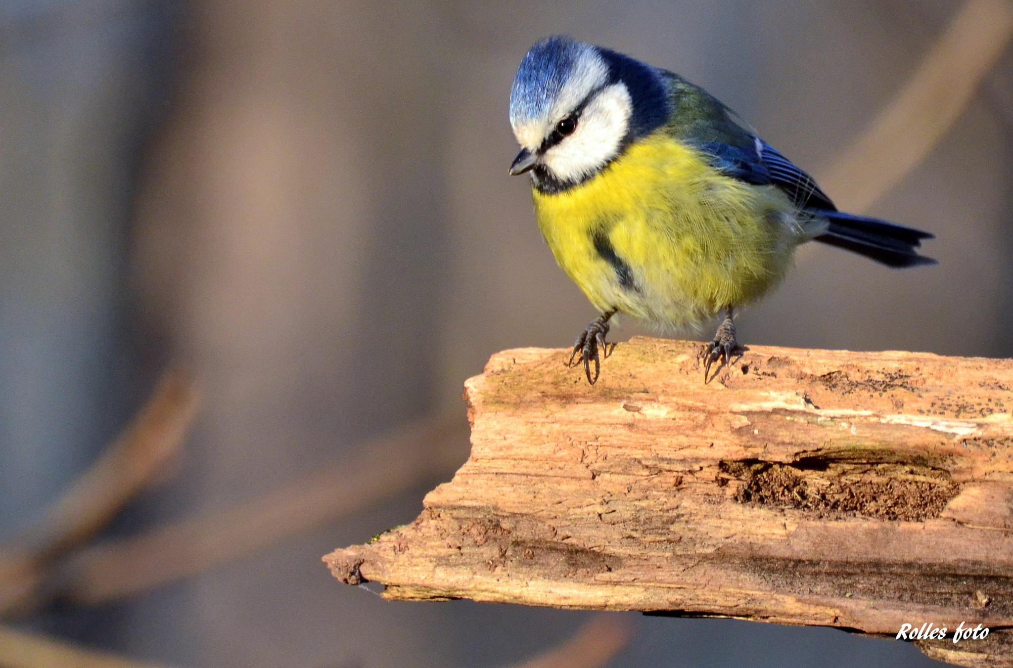 Bluetit by rollepersson