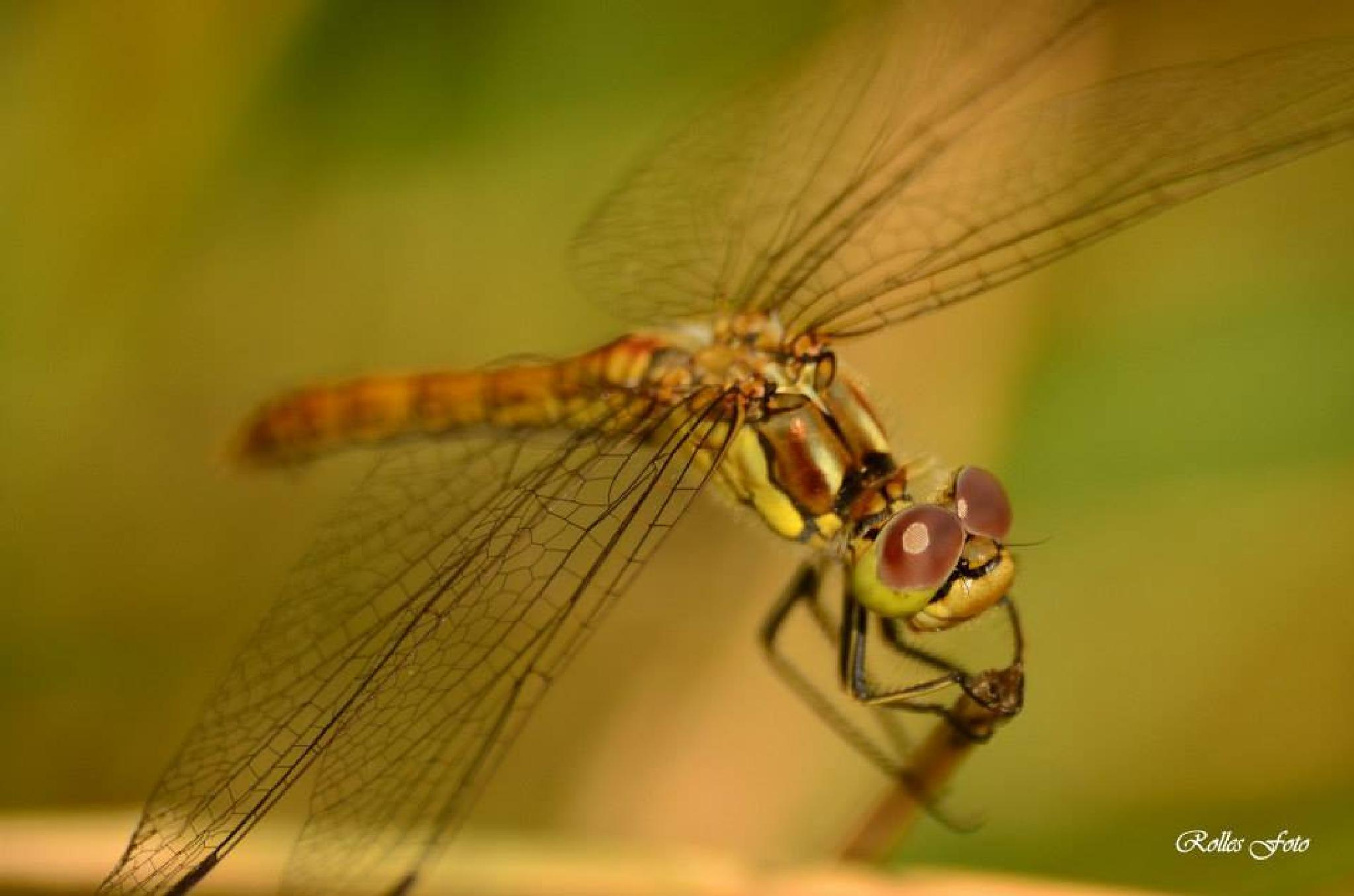 dragonfly by rollepersson