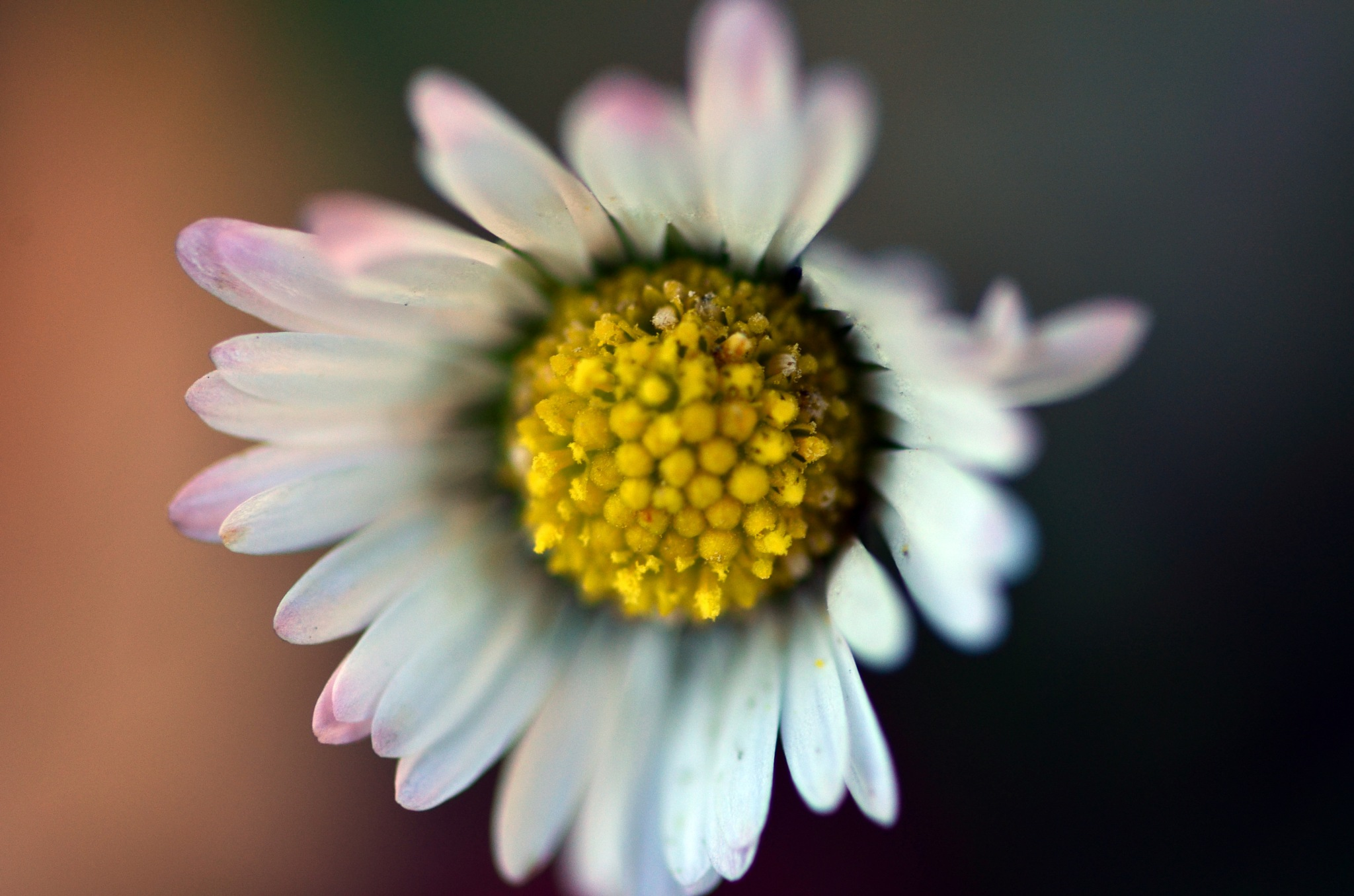 daisy by rollepersson