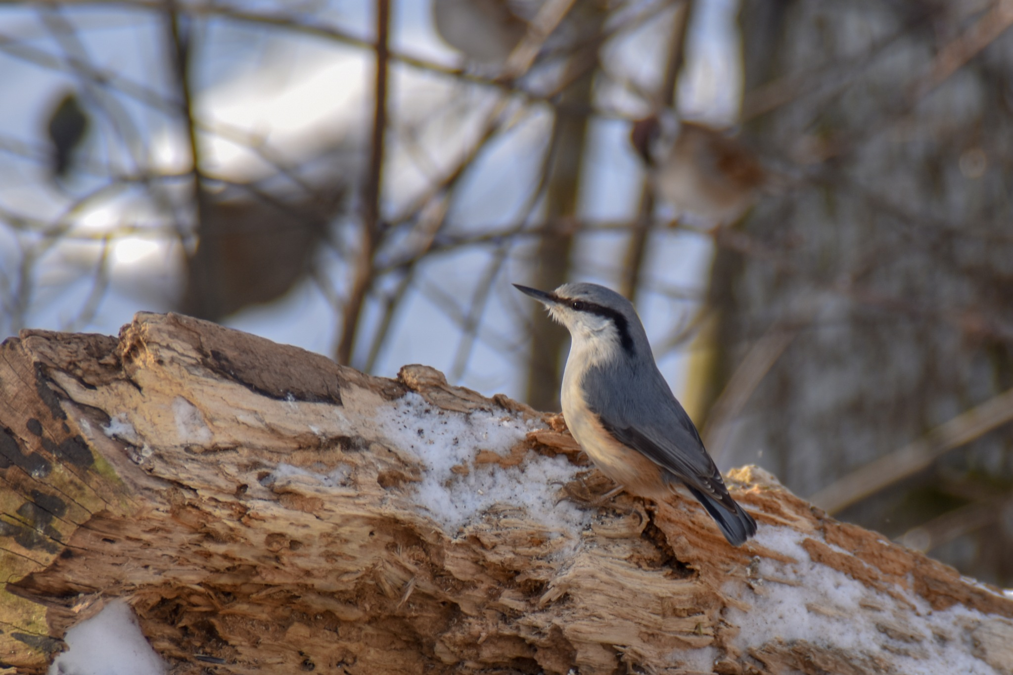 Nuthatch by rollepersson