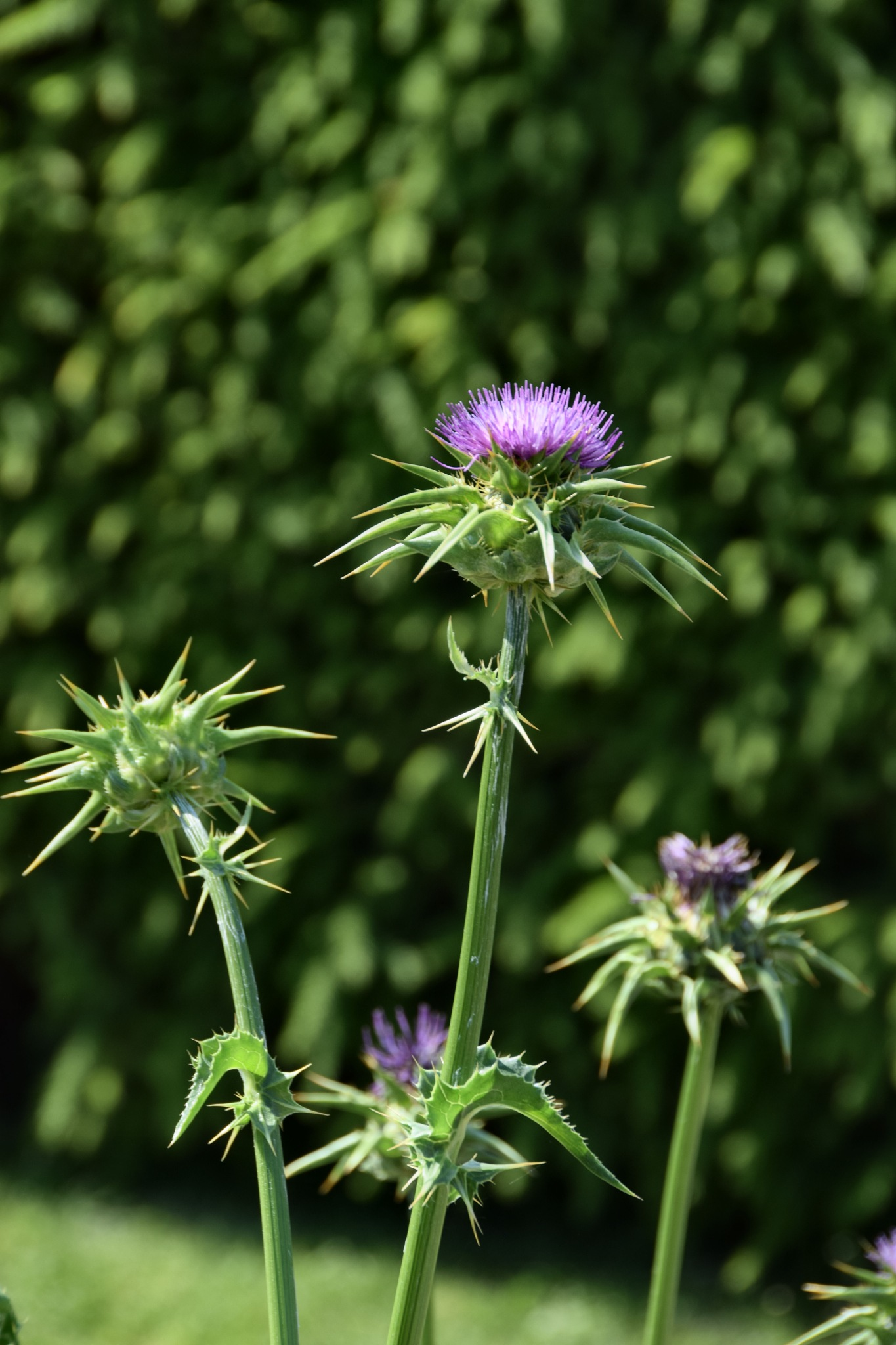 Pink thistle by yvonne.frisen