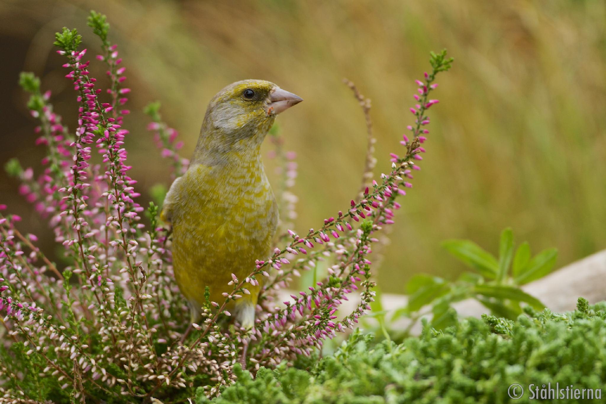 European Green finch in Heather. by stahlstierna
