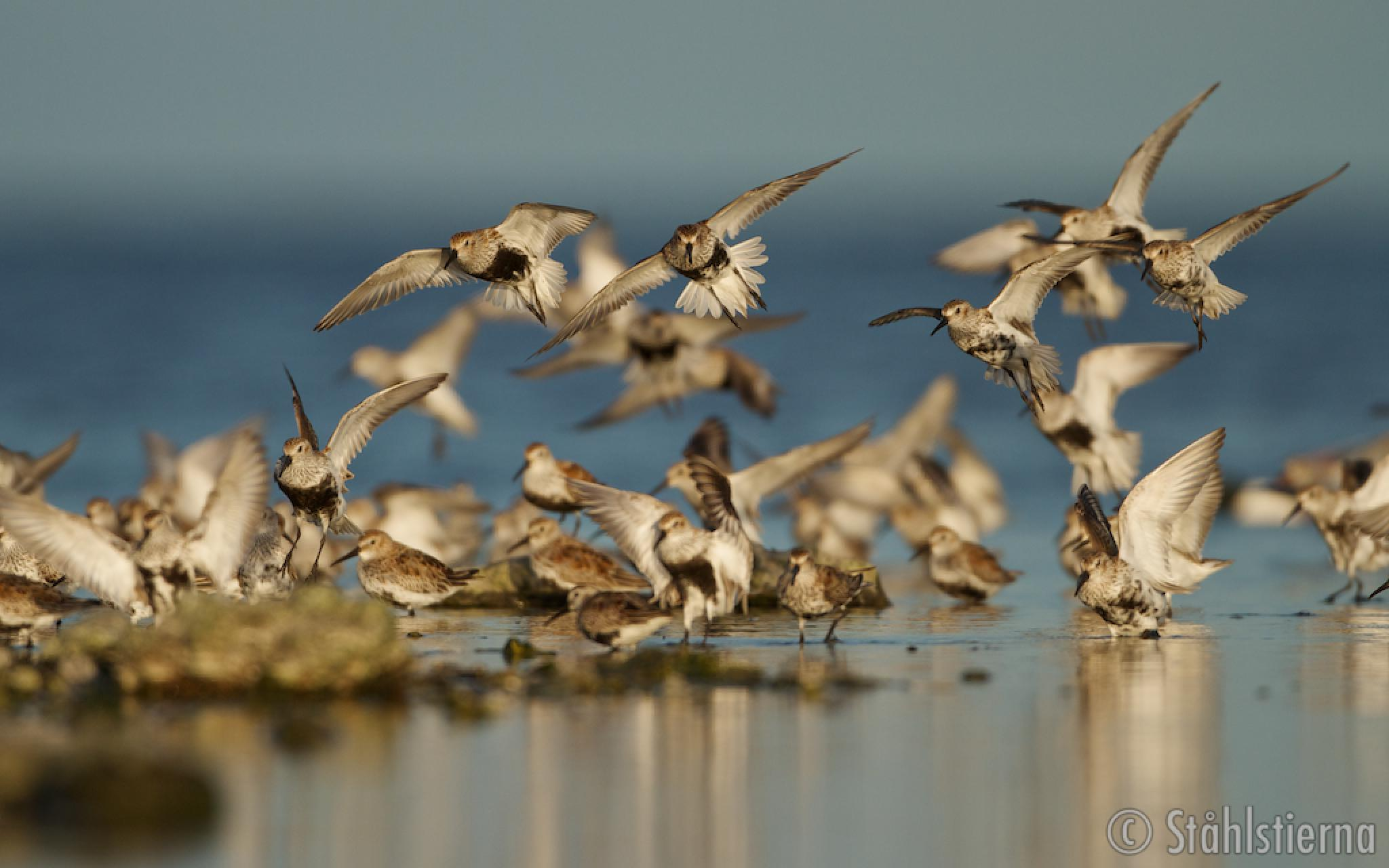 Dunlins incoming by stahlstierna