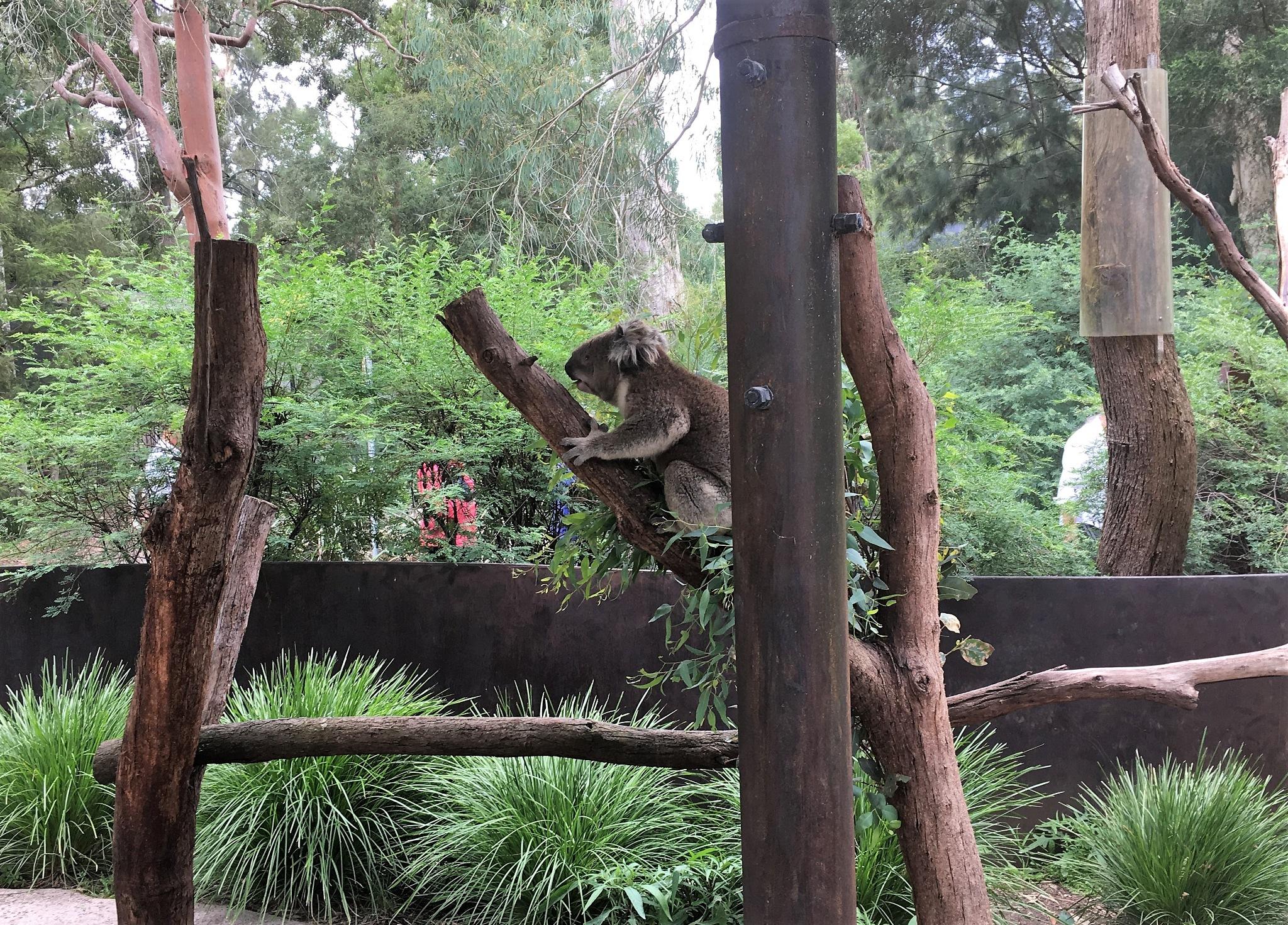 Koala by ronmac777
