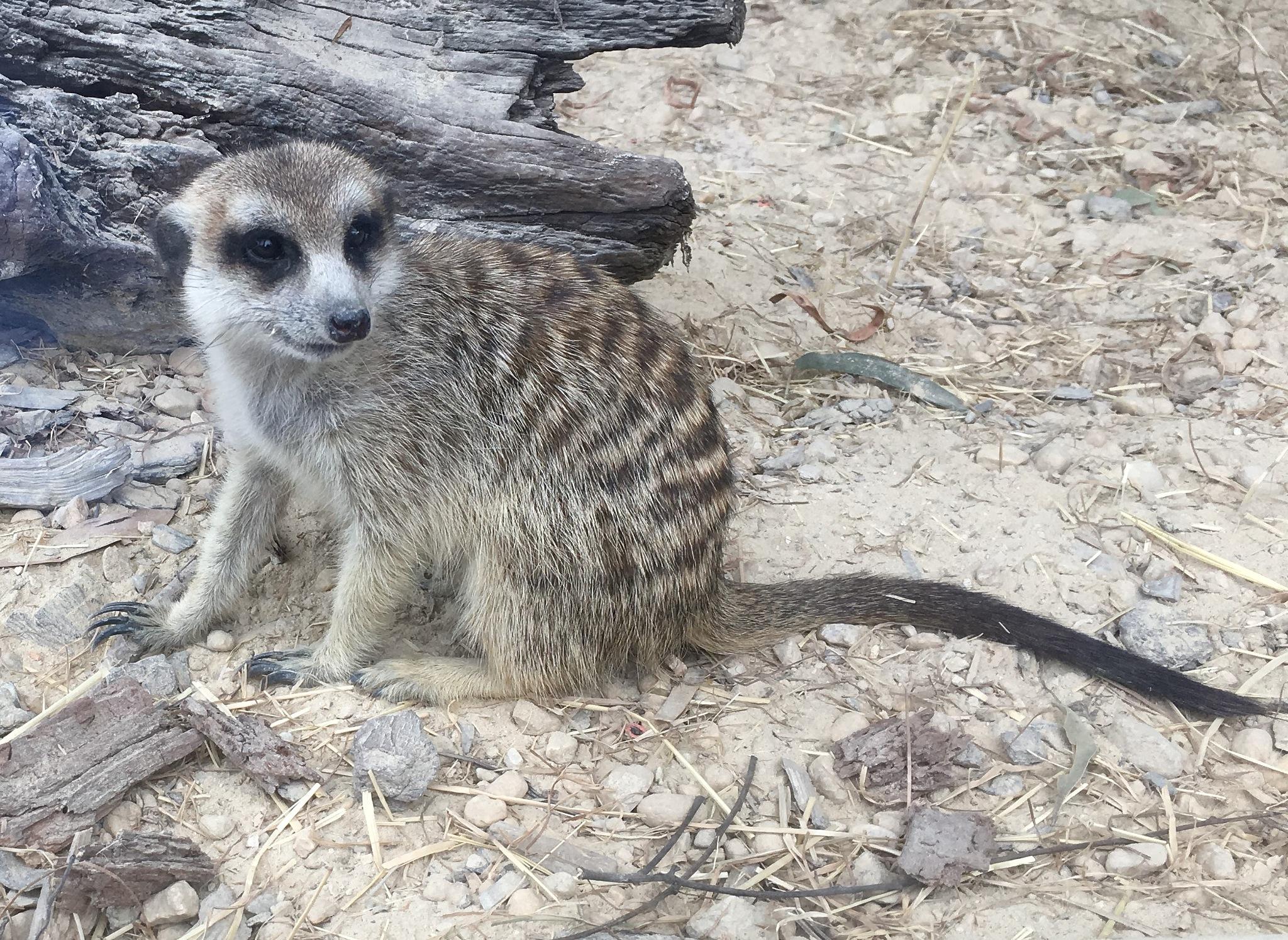 A Meerkat by ronmac777