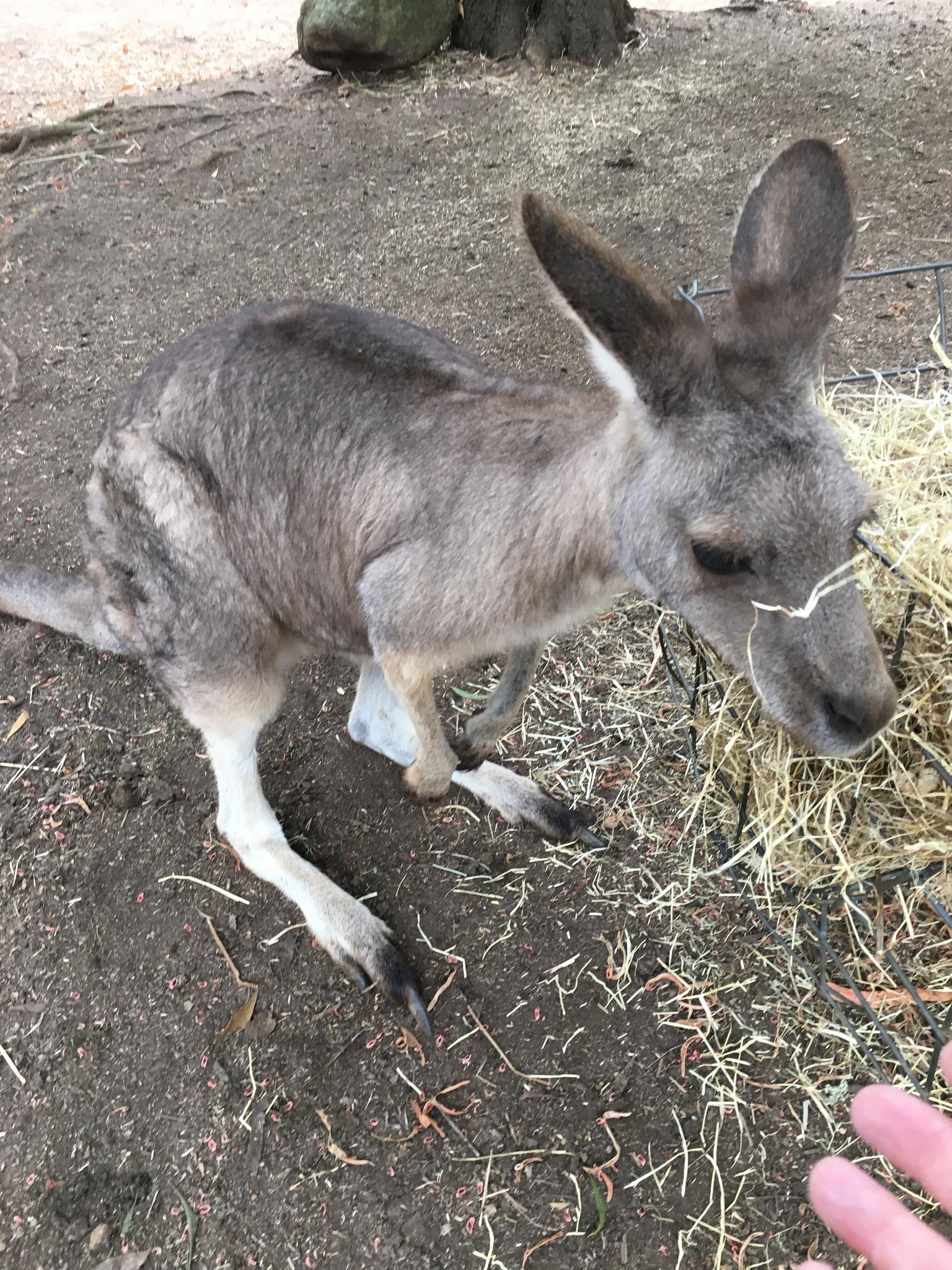 Kangaroo by ronmac777