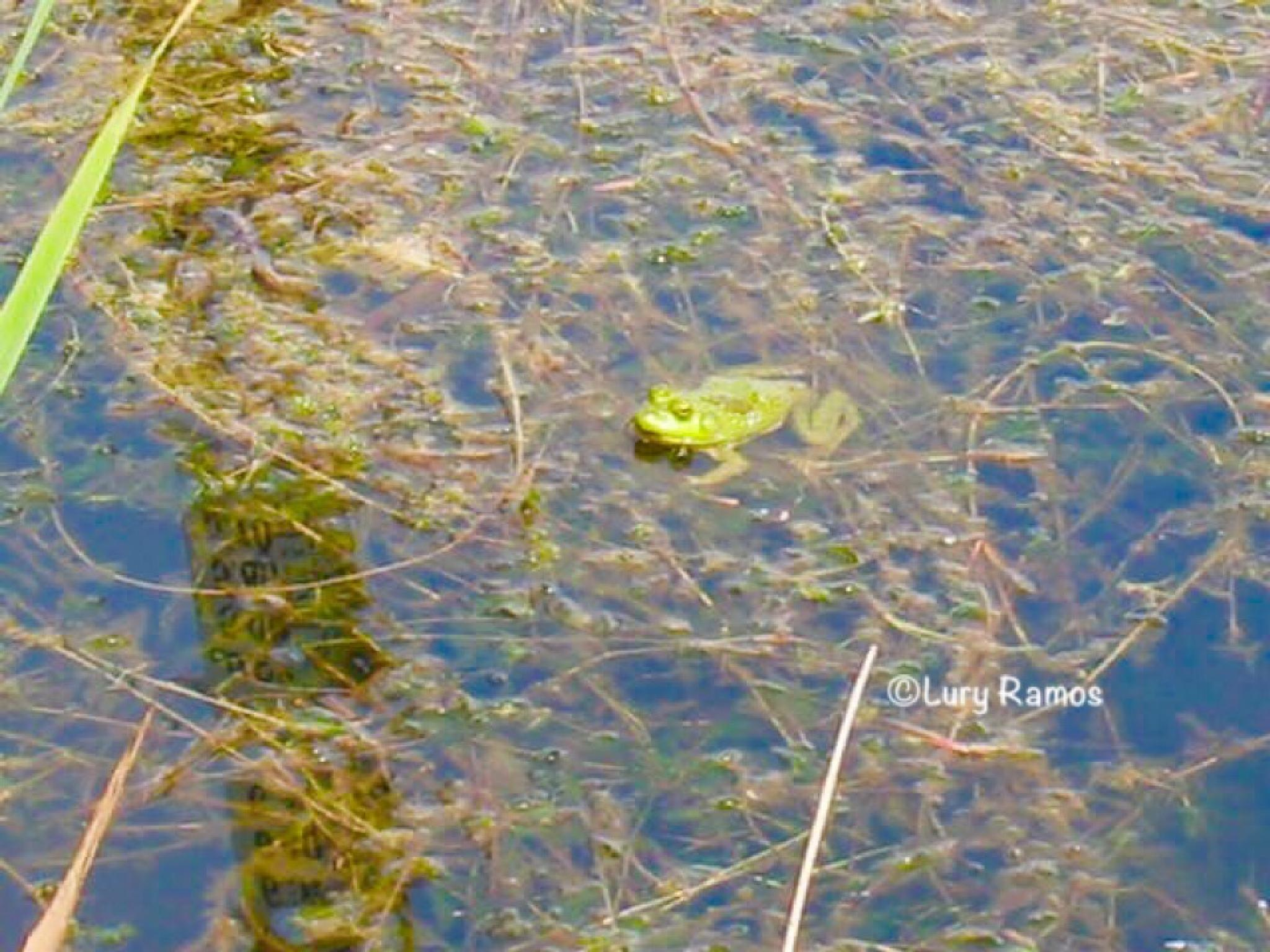 Frog by Lury Ramos