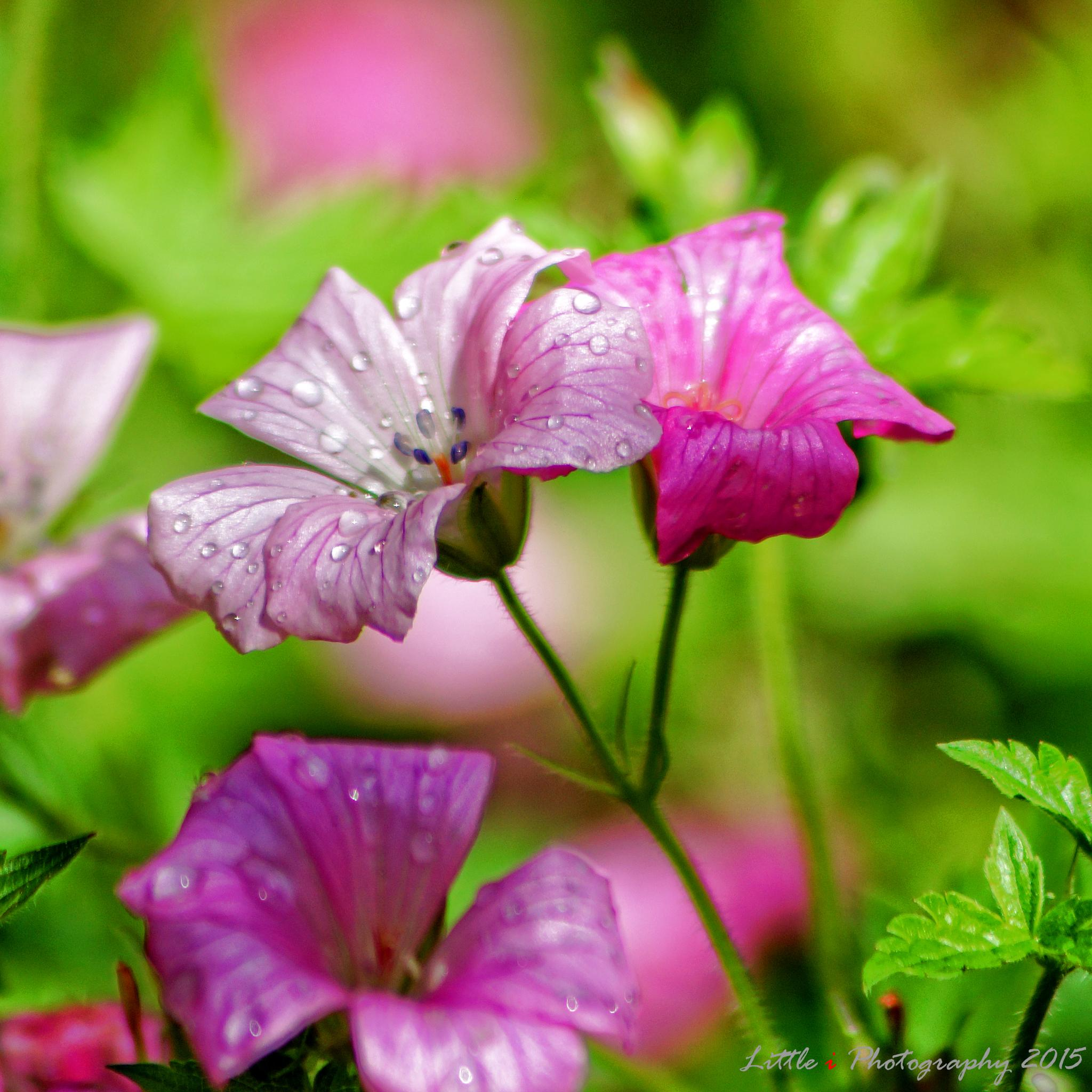 Pinks... by davecarter754