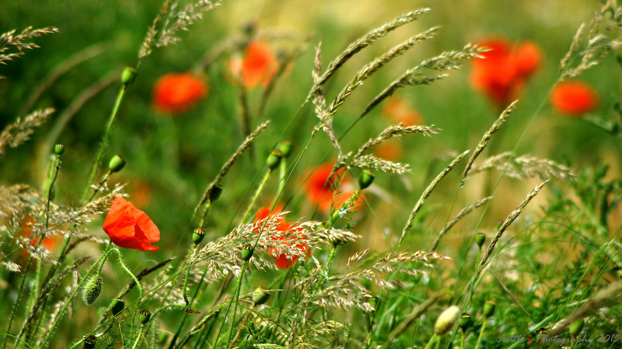 Poppy fields #1 by davecarter754