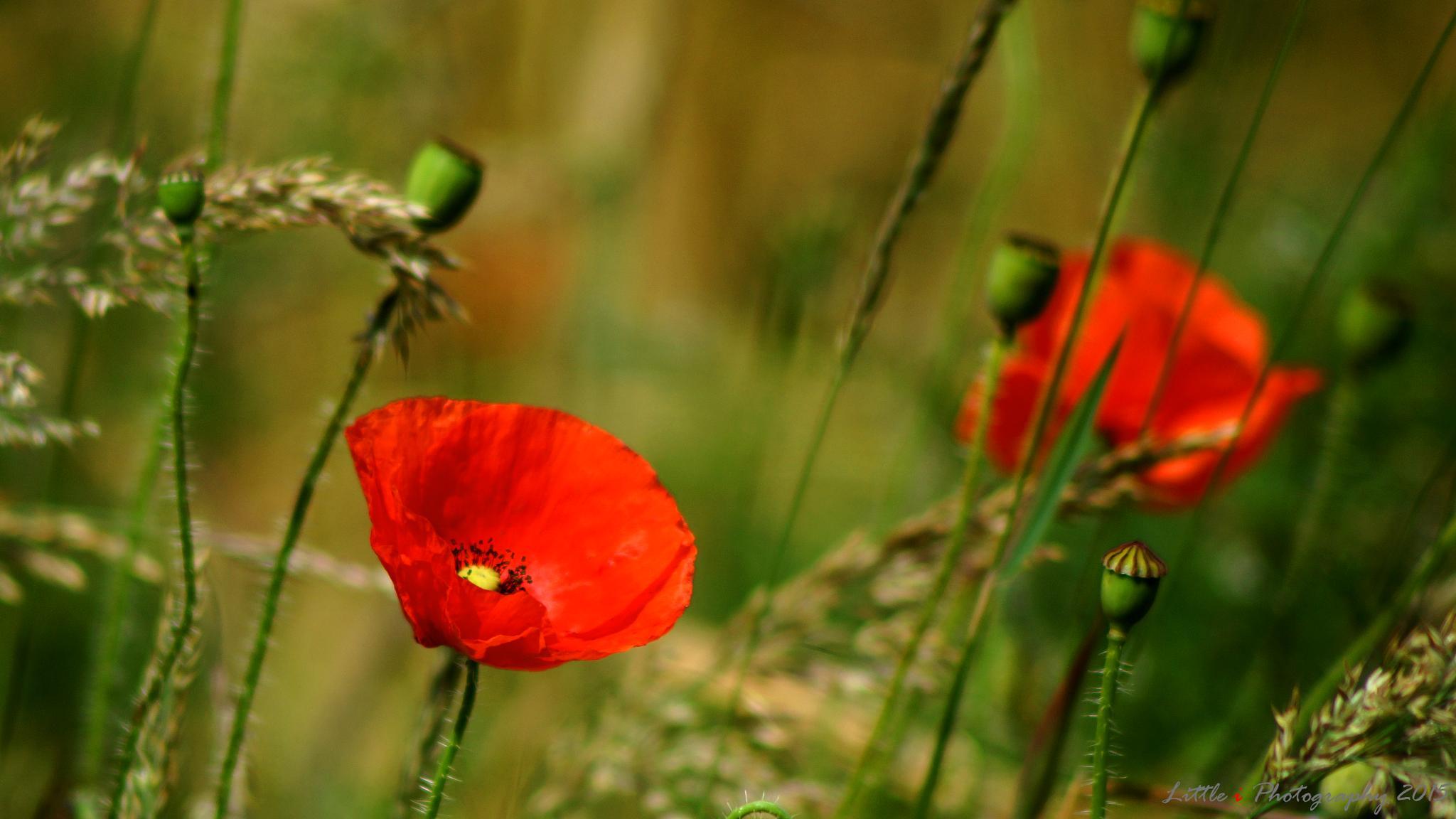 Poppy fields #2 by davecarter754