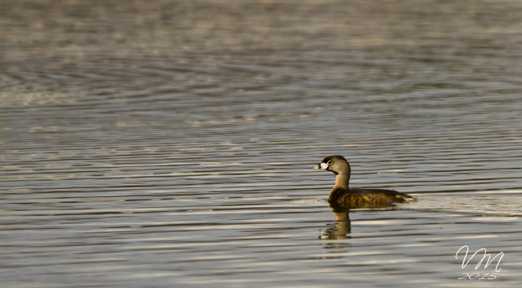 Pied-Billed Grebe on the Lake by Vonda B. Magill