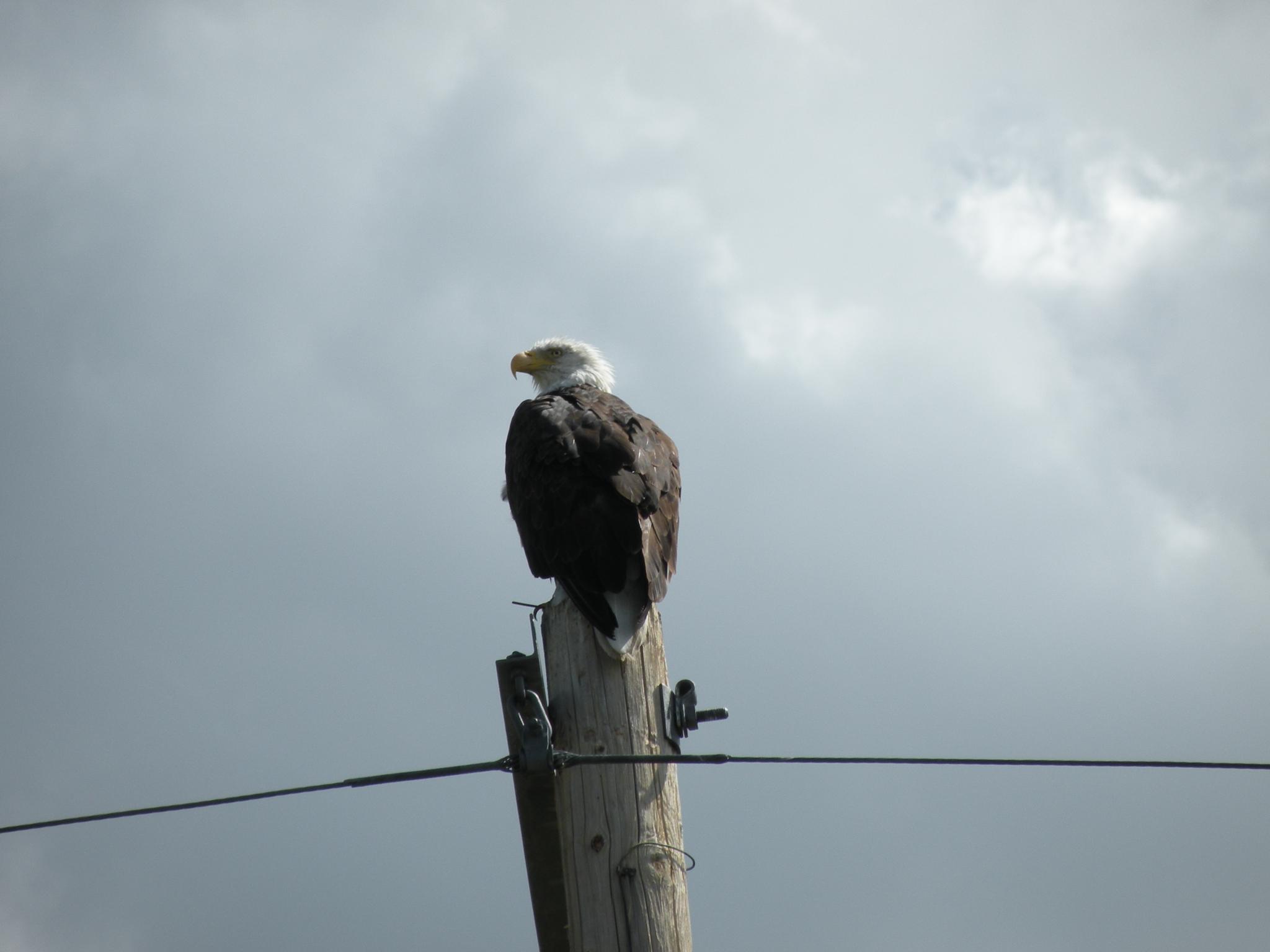 Bald Eagle  by Chris6564