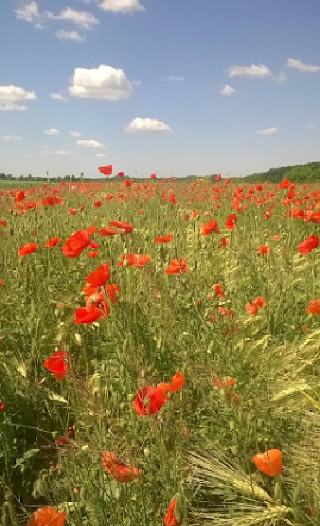 Wild flowers in wheat field by Serhieiv Oleh