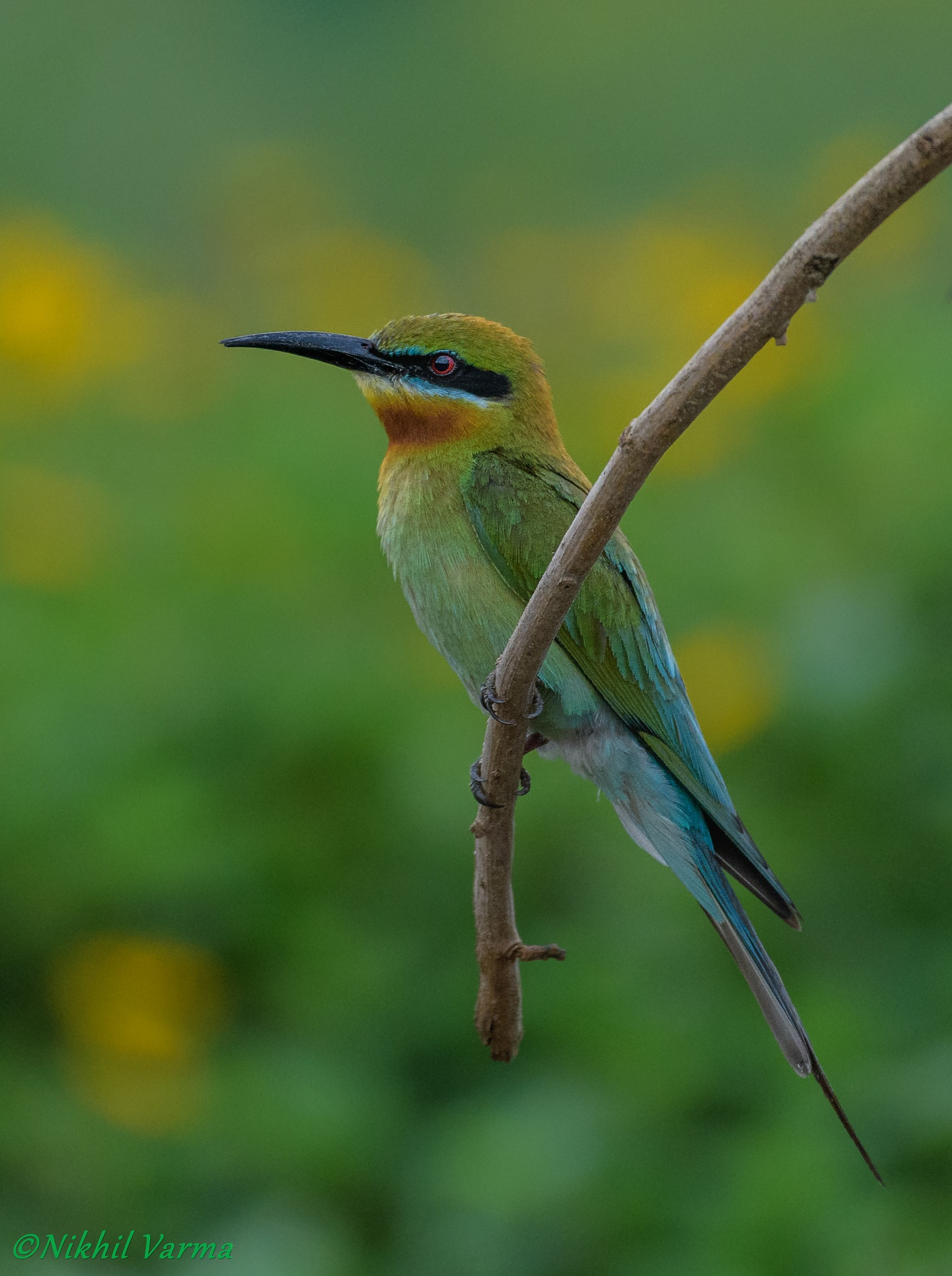blue tailed bee-eater by nikhil.varma