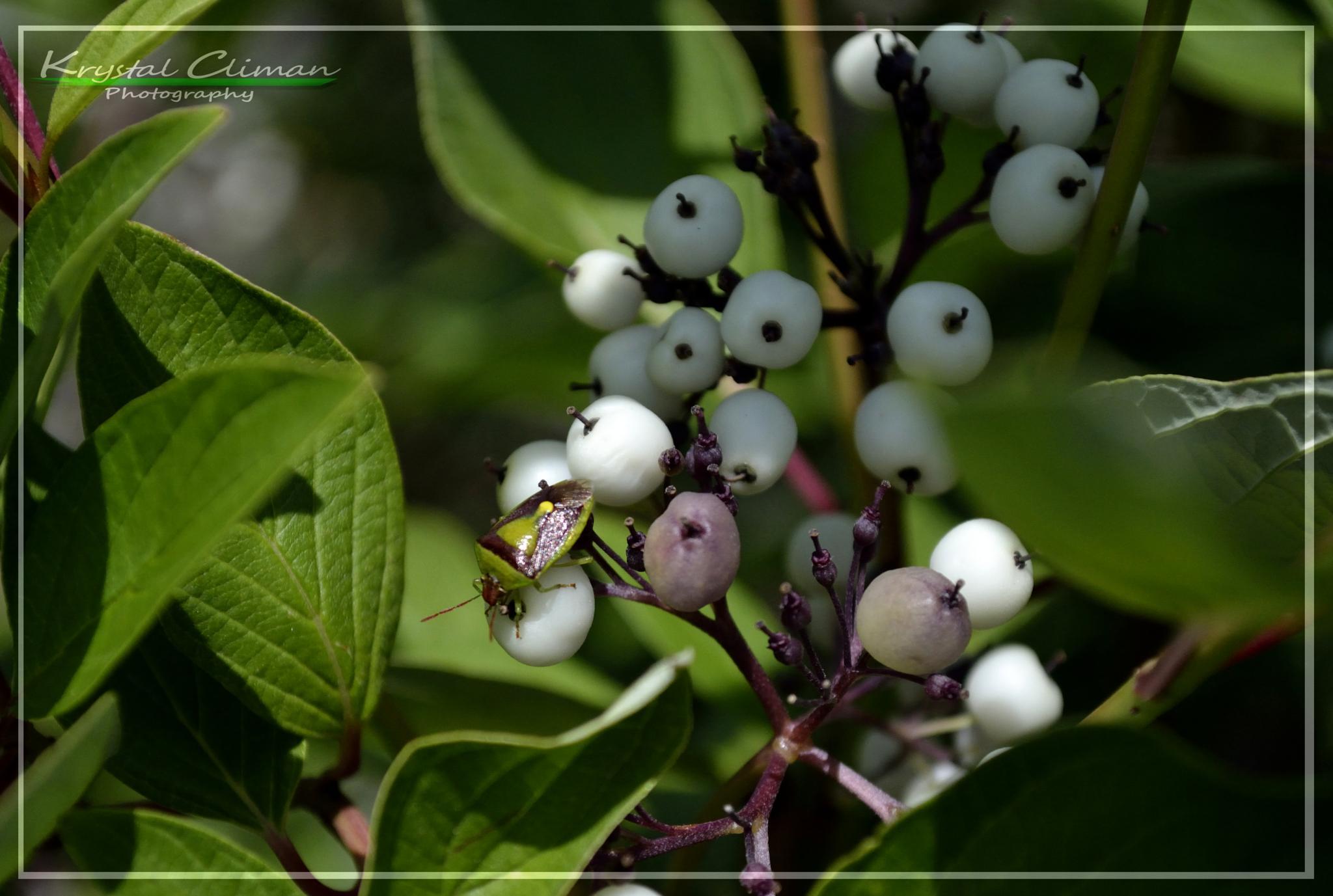 Bug & Berries by Krystal Climan
