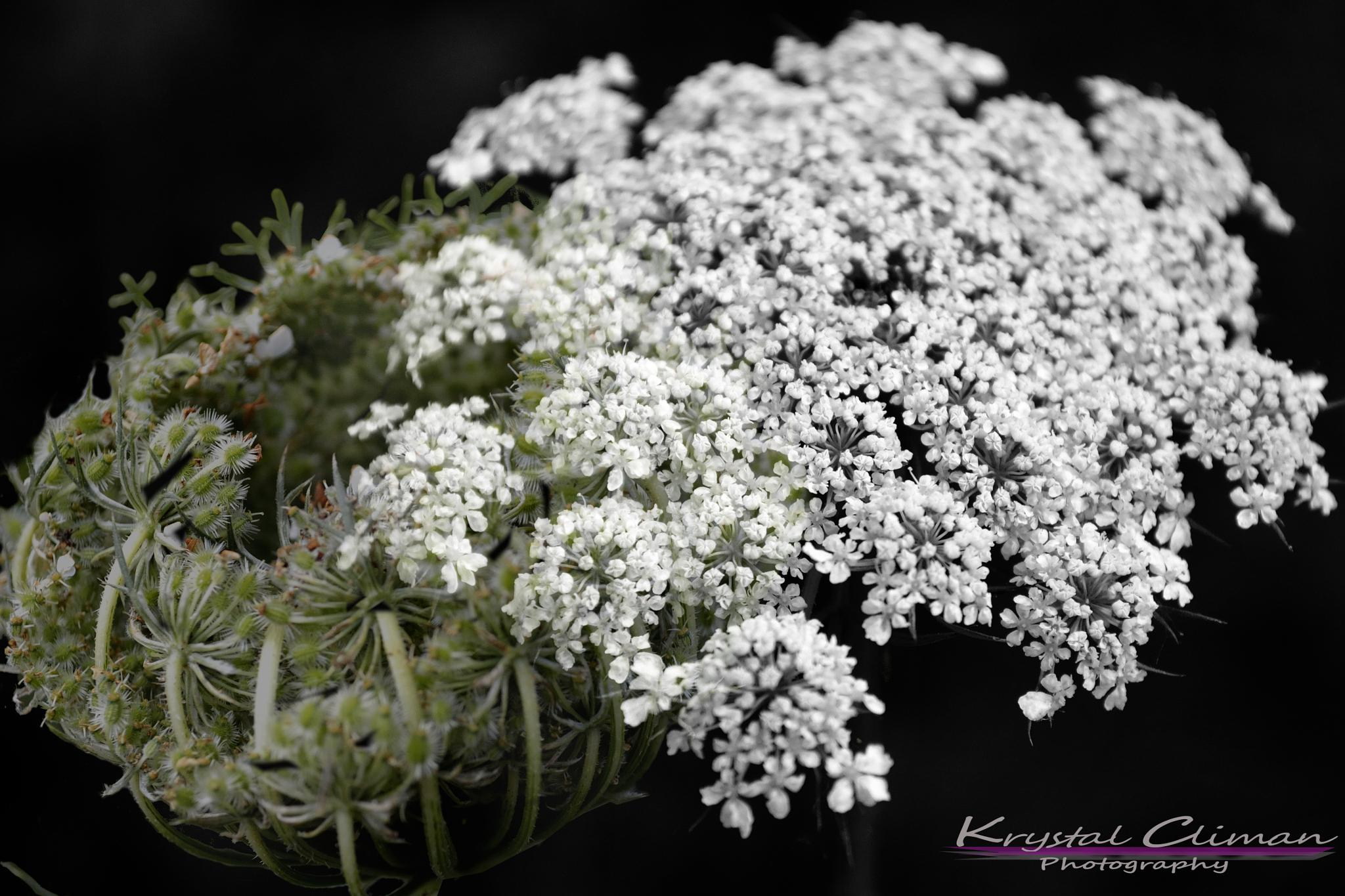 The Queen's Lace by Krystal Climan