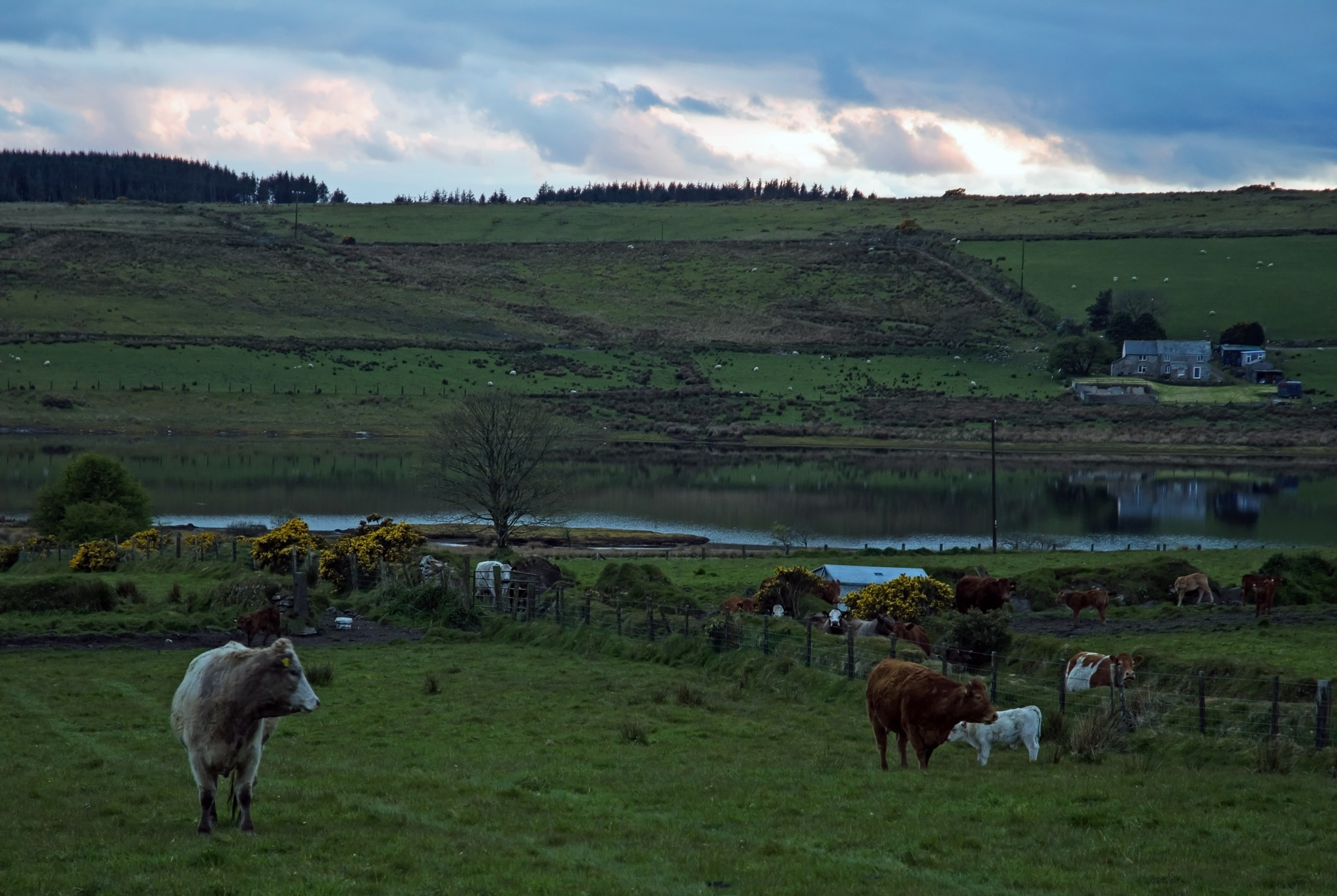 Cows at sunset by MADOLDIE