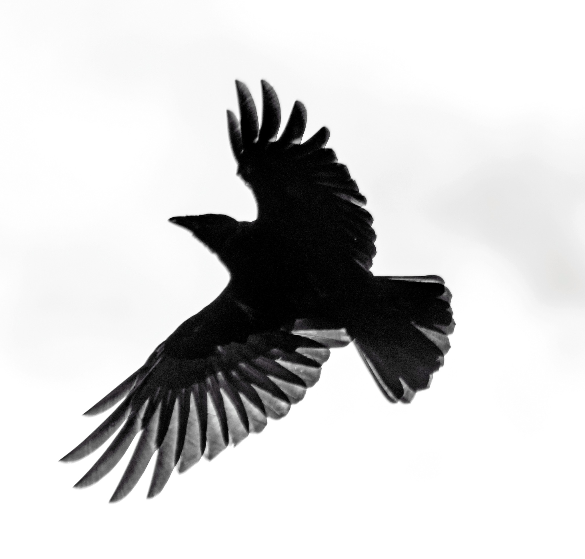 Black and white bird by MADOLDIE