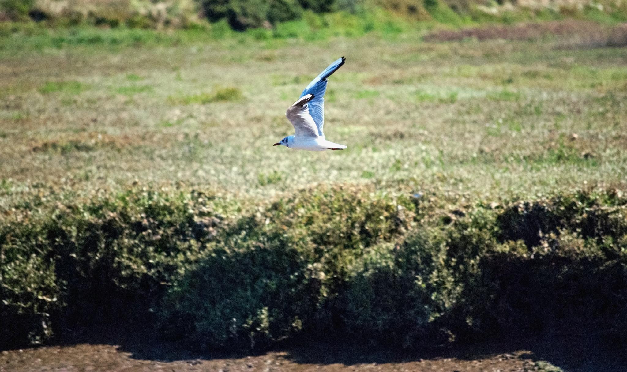 Little gull by MADOLDIE
