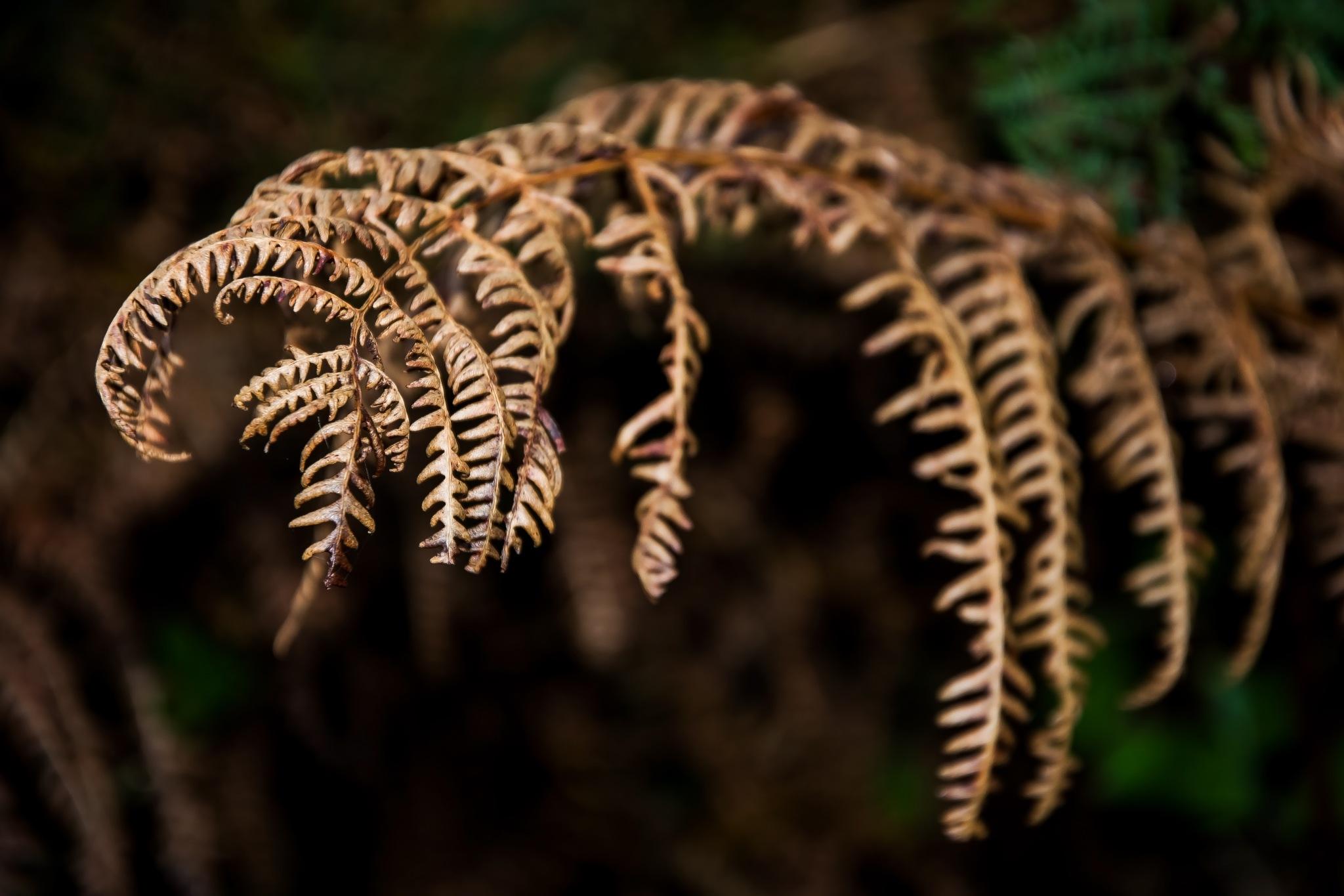 Brown fern by MADOLDIE