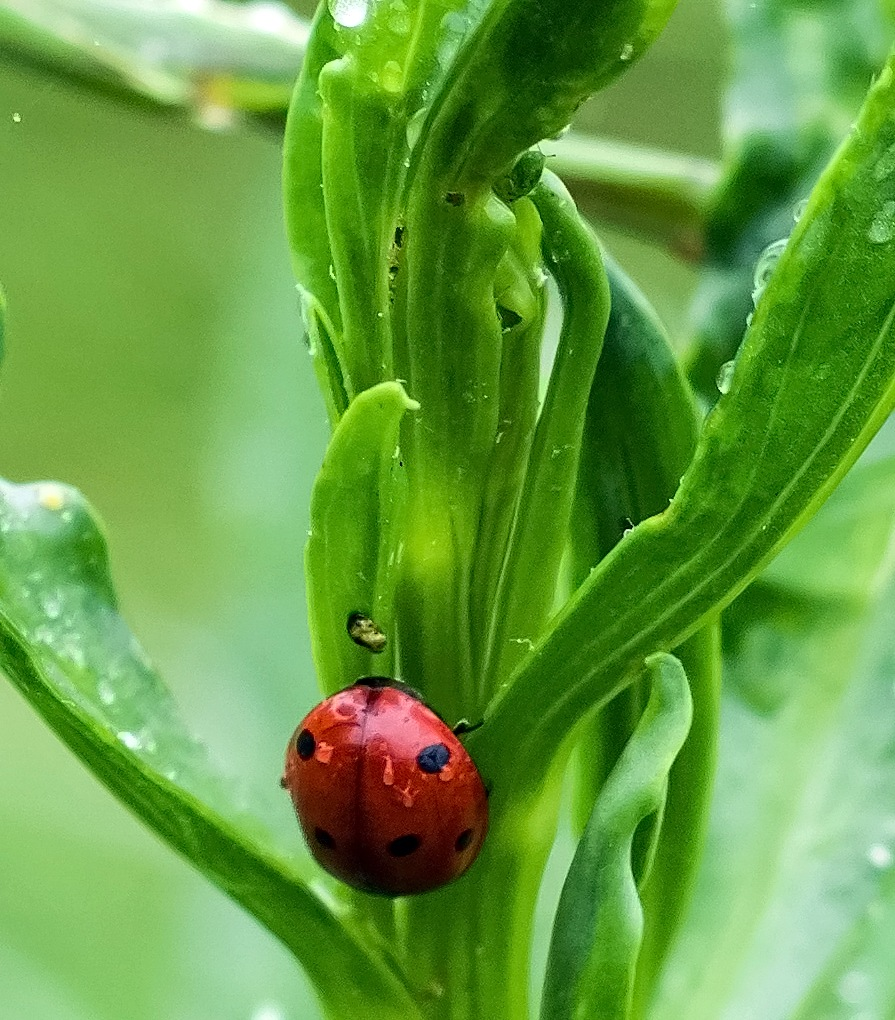 Ladybird by MADOLDIE