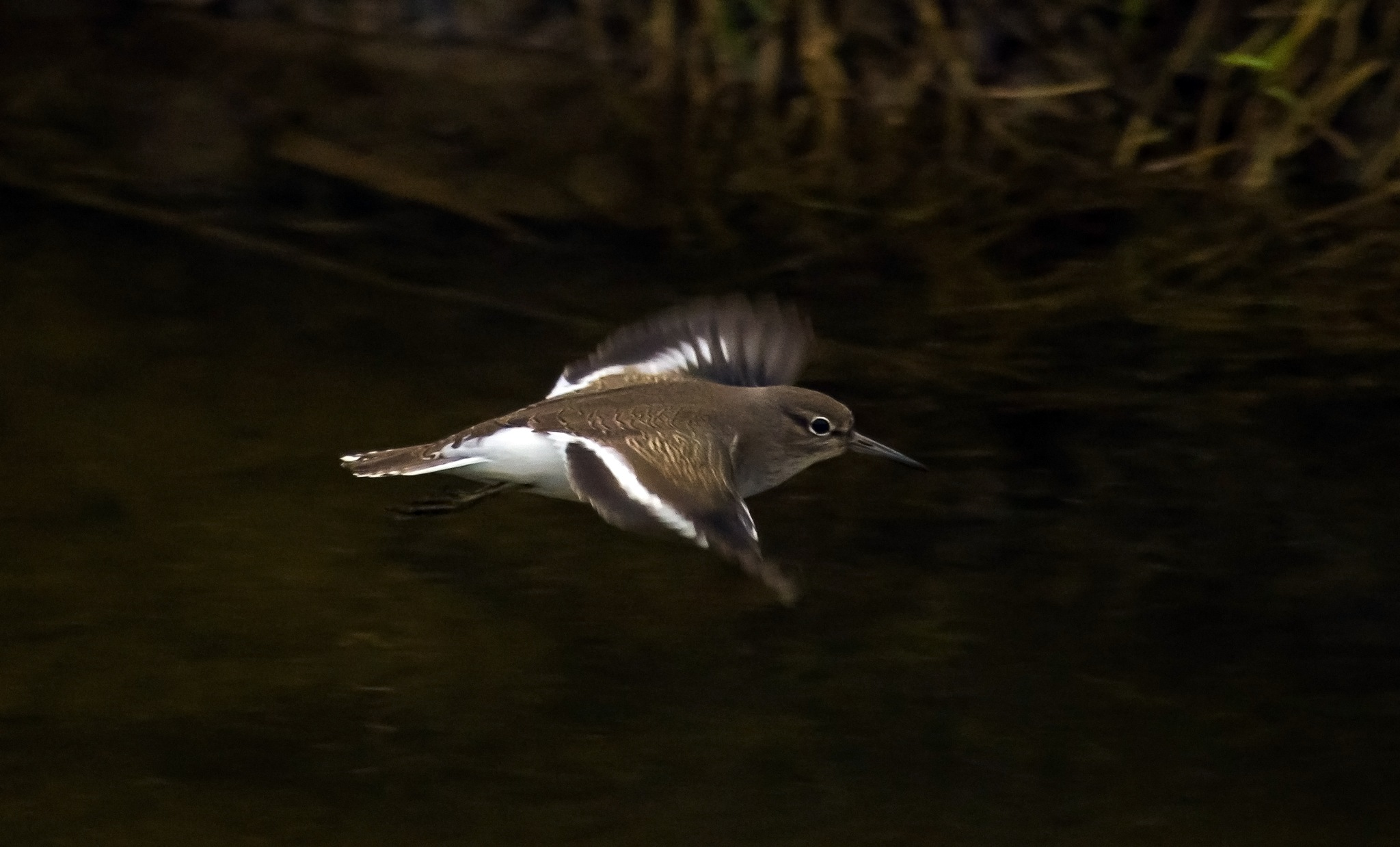 Common Sandpiper by MADOLDIE