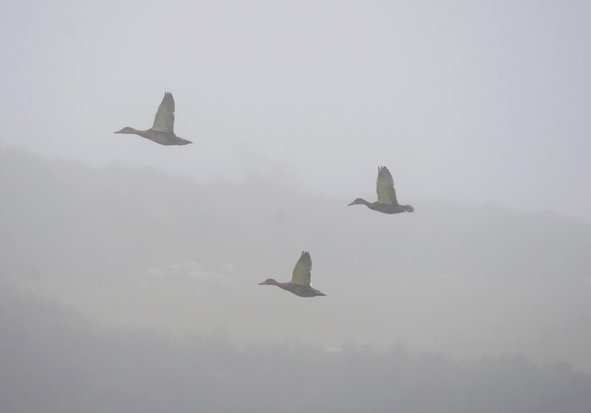 Ducks in the mist by MADOLDIE
