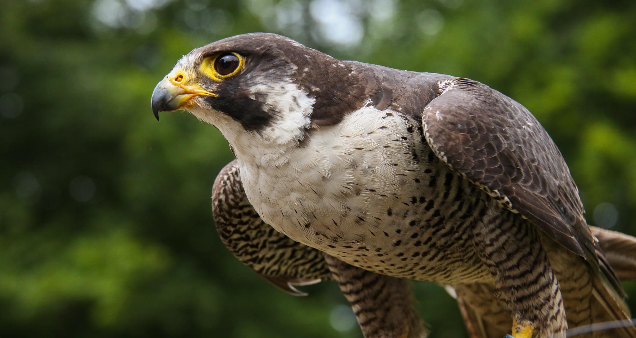 Falcon by rejophoto