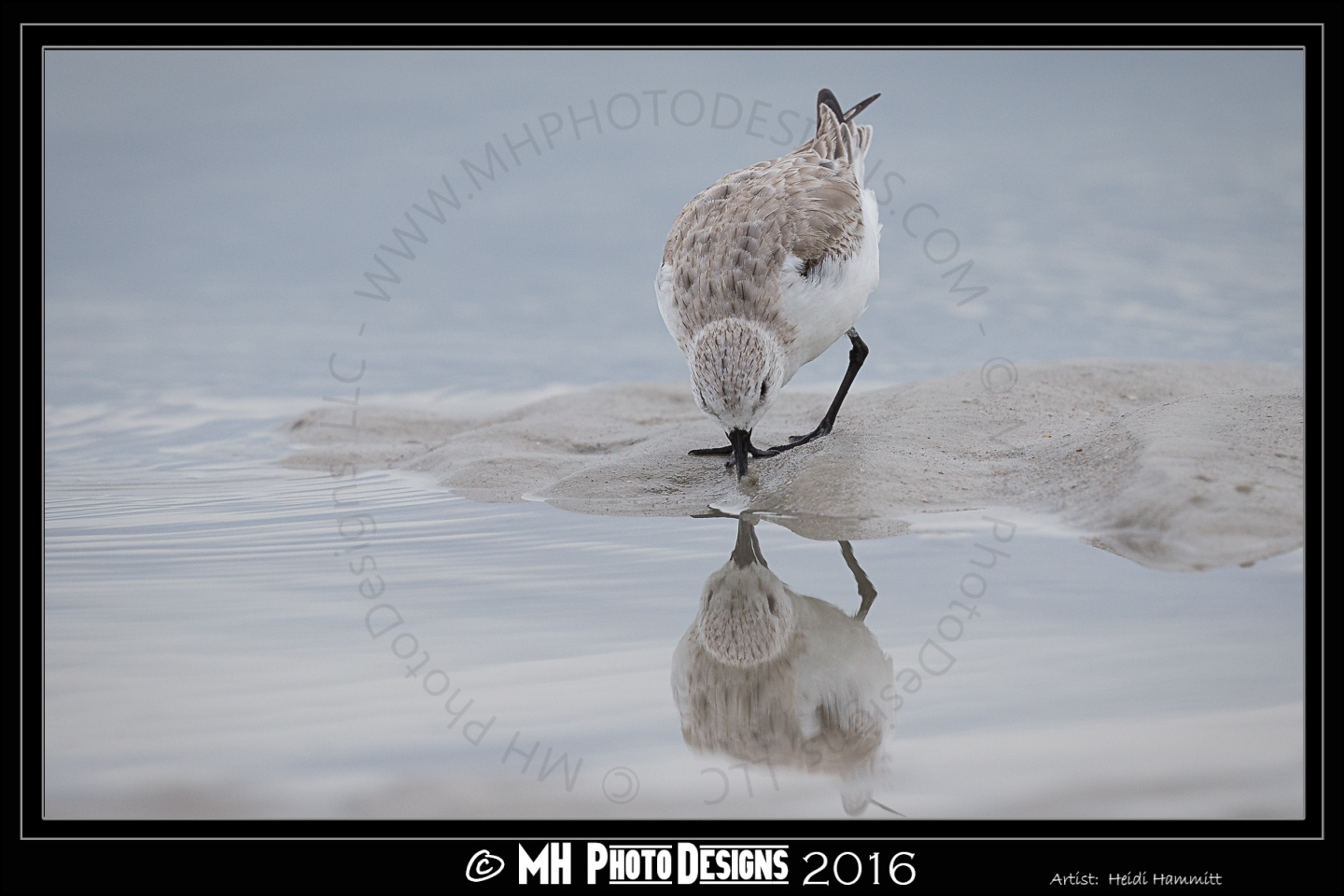 """Reflections"" - Sanderling by Marcus Hammitt"