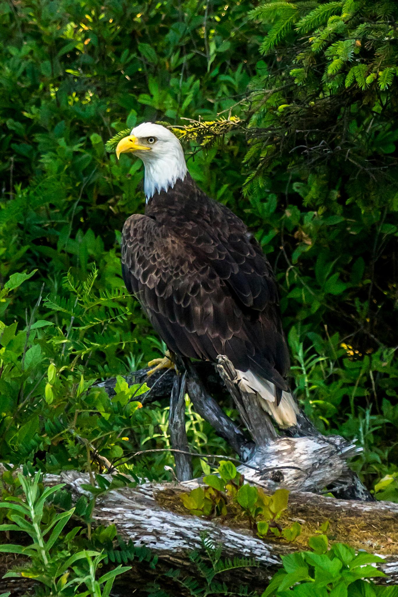 Rialto Beach Bald Eagle by Yanqiang Dai