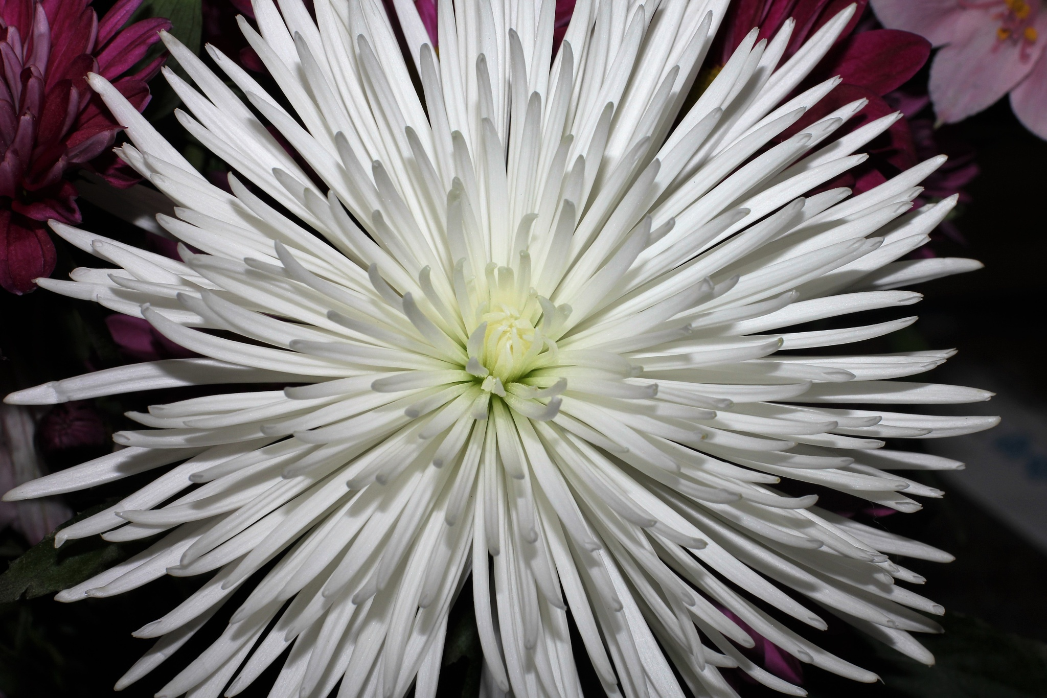 Flower Burst by carolyn.johnnyalcina